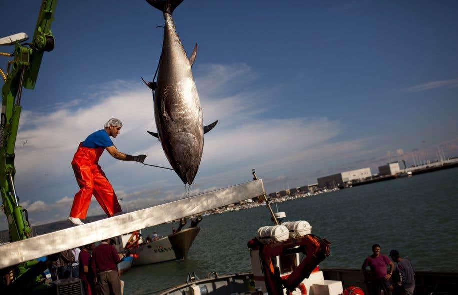 Un thon rouge de l'Atlantique lors de l'ouverture de la saison de pêche dans le sud de l'Espagne, en 2011