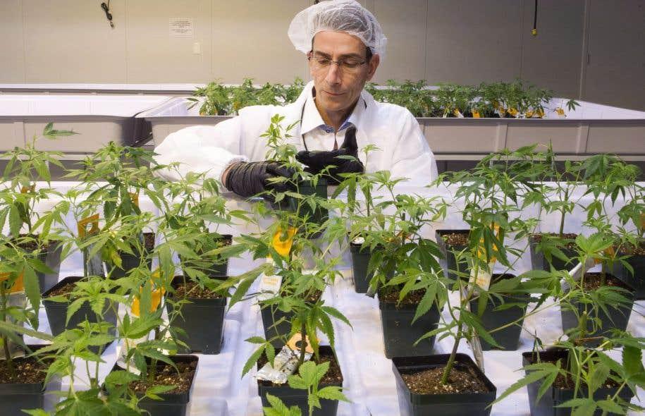 L'entreprise Aurora produit de la marijuana au Québec, mais son siège social est en Alberta. Un seul producteur québécois fait partie de la liste des producteurs autorisés de Santé Canada.