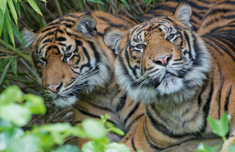 La population de tigres de Sumatra a chuté d'un nombre estimé de 742 adultes à 618 entre 2000 et 2012