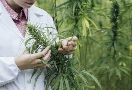 Le gouvernement Trudeau, qui souhaite légaliser la marijuana en juillet 2018, ne sait toujours pas comment s'appliquera la législation sur le cannabis dans les réserves autochtones.