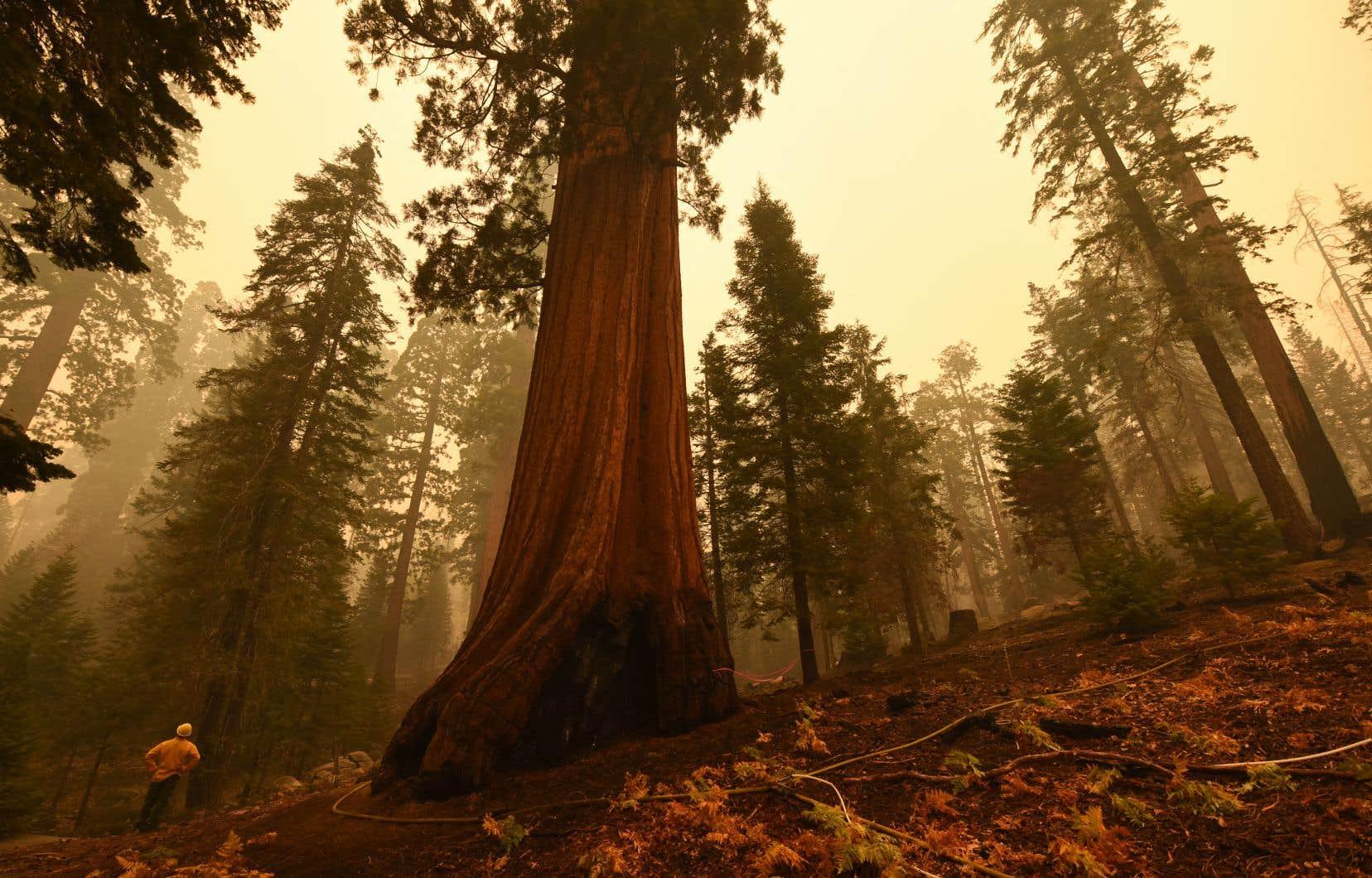 Les séquoias millénaires de Californie ne sont pas adaptés aux feux plus intenses qui ont eu tendance à se déclarer ces dernières années à la faveur du changement climatique.