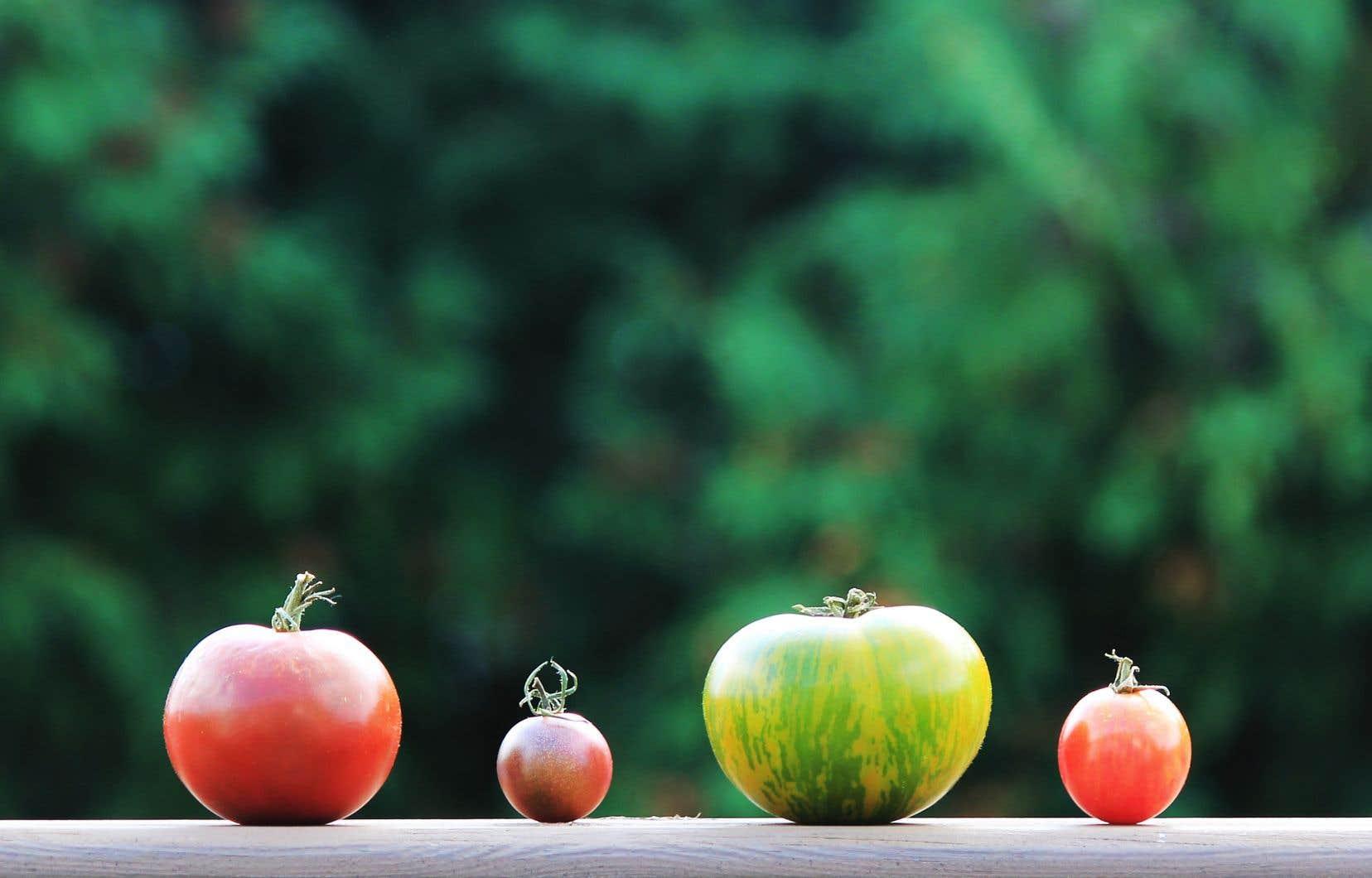 Quelques variétés de tomates (de gauche à droite: la tomate Black Prince, la tomate cerise Black Cherry, la tomate Green Zebra et la tomate Bumble Bee)