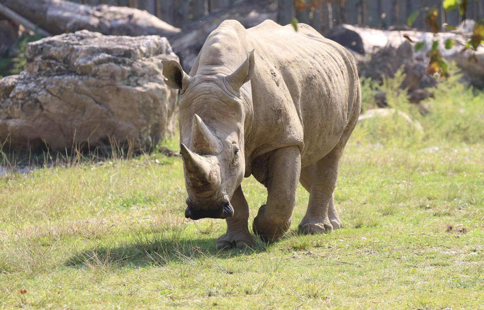 Toby, le plus vieux rhinocéros blanc connu du monde, est mort à l'âge de 54ans dans un zoo du nord de l'Italie.