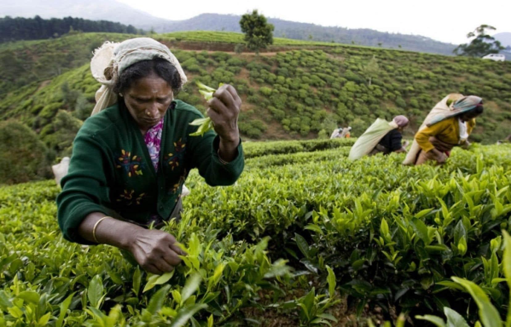 Une cueilleuse de thé, au Sri Lanka