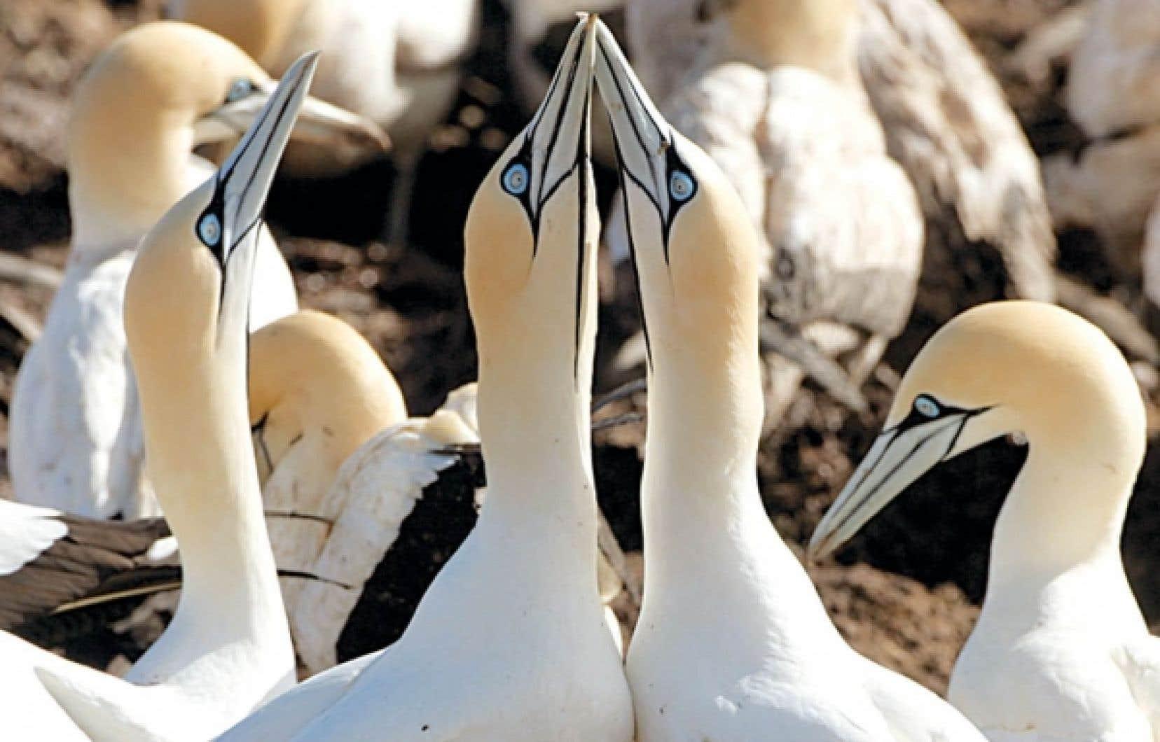 La plus grande colonie de fous de Bassan au monde passe l'été sur l'île Bonaventure, près de Percé, une zone du golfe du Saint-Laurent qui intéresse l'industrie pétrolière.<br />