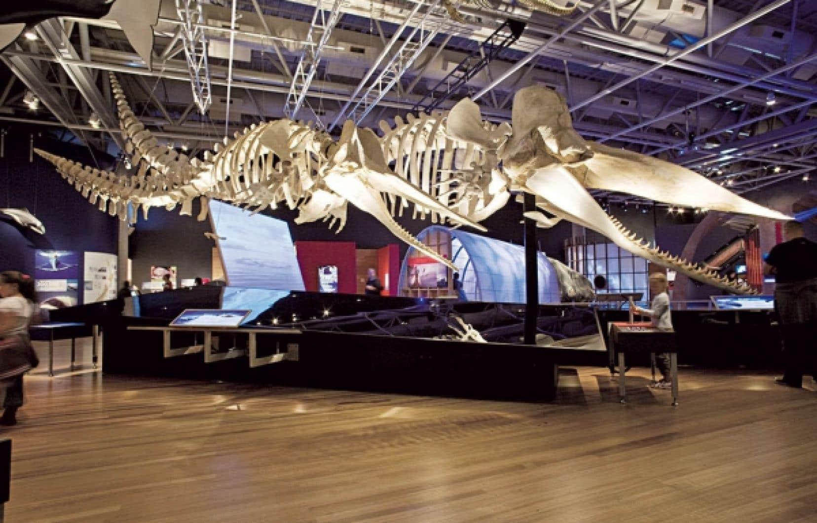 Deux artefacts spectaculaires attendent le visiteur dans la deuxi&egrave;me partie de l&rsquo;exposition: deux squelettes de grands cachalots sont suspendus au plafond<br />