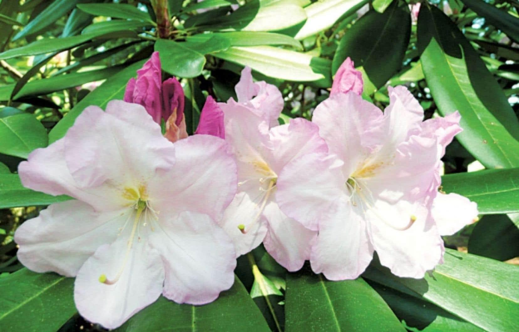 Le rhododendron Fundy a d'immenses fleurs et des feuilles persistantes.