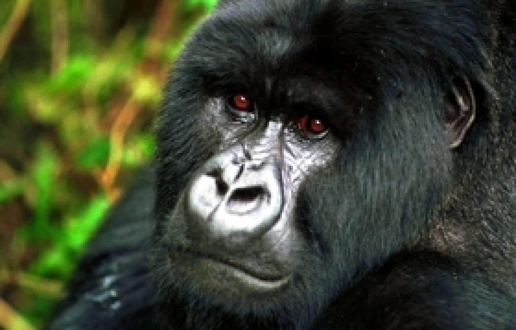 «Des groupes se font la lutte pour contrôler le marché du charbon, mais aussi celui du tourisme des gorilles», dit Christina Cameron, présidente du Comité du patrimoine mondial.
