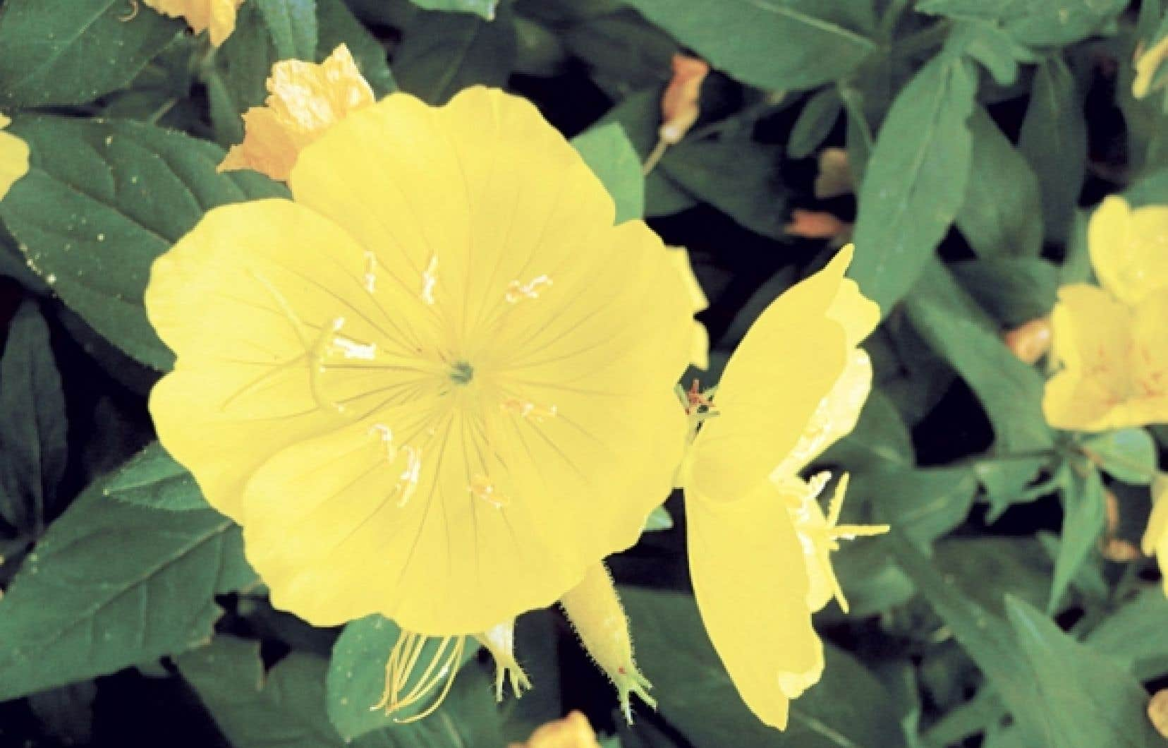 <div> Les fleurs d&rsquo;onagre se mangent enti&egrave;res, sans &eacute;tamines, ou encore on d&eacute;guste uniquement les p&eacute;tales. On les aime en salade et avec les l&eacute;gumes, le riz ou les p&acirc;tes.&nbsp;</div>