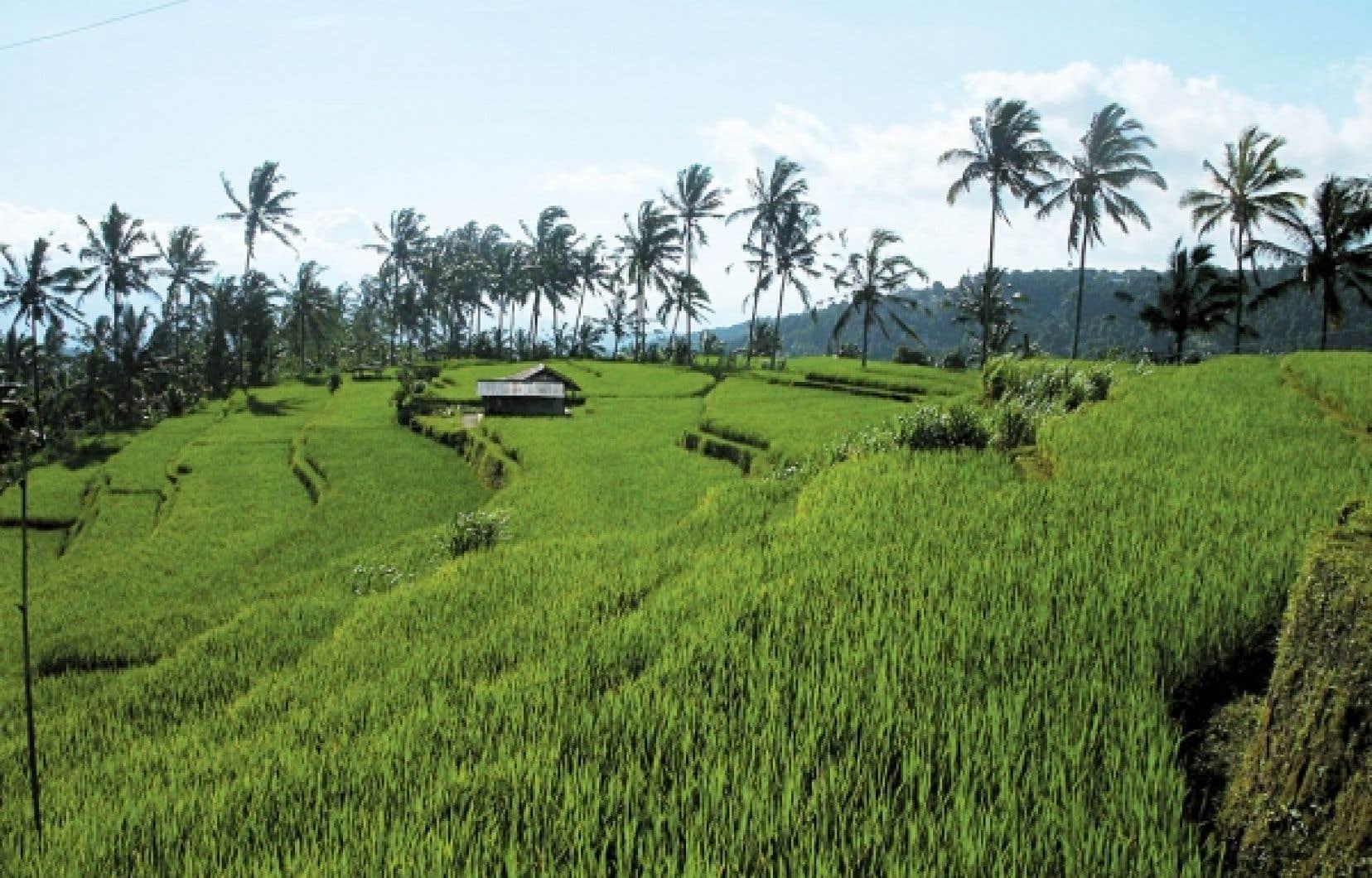 <div> Les sentiers de randonnée sont nombreux autour de Munduk. Certains permettent de passer au milieu des rizières.</div>