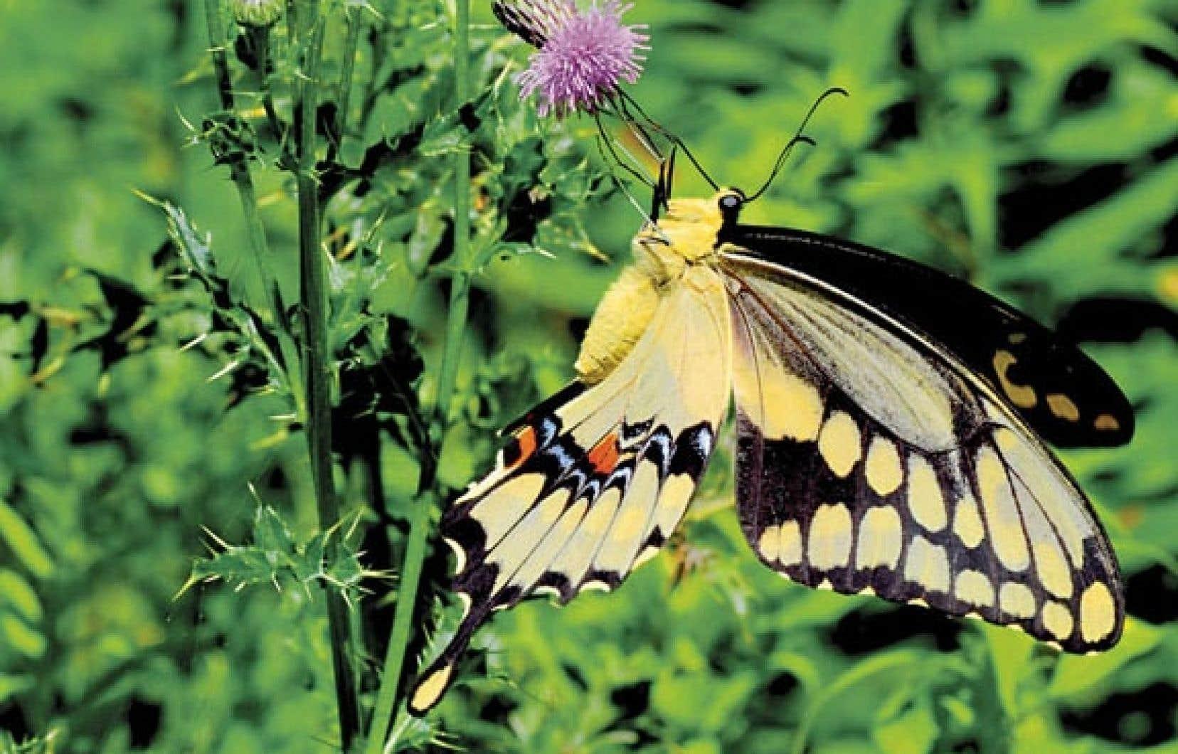 Un grand porte-queue photographié l'an dernier dans le comté de Prince Edward, près du lac Ontario, où l'espèce est établie depuis 2007. La taille de ce papillon peut atteindre 15 centimètres.