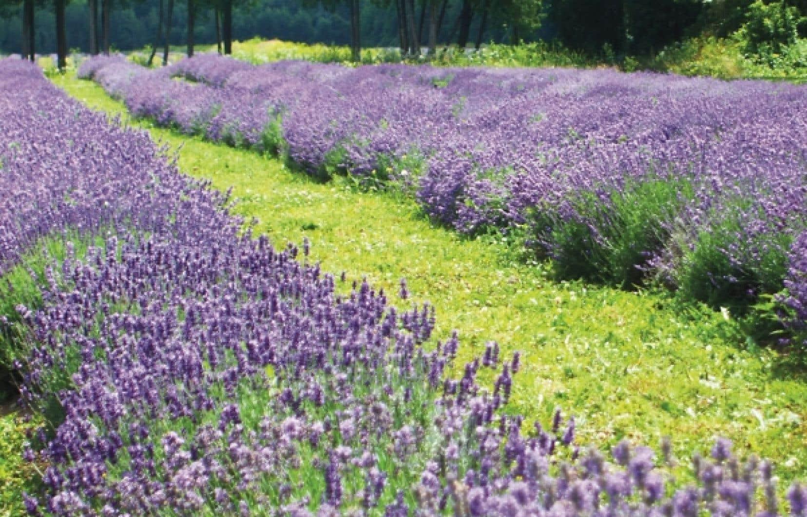 Un champ de lavande en fleurs : à voir au moins une fois dans sa vie. Tout simplement envoûtant !