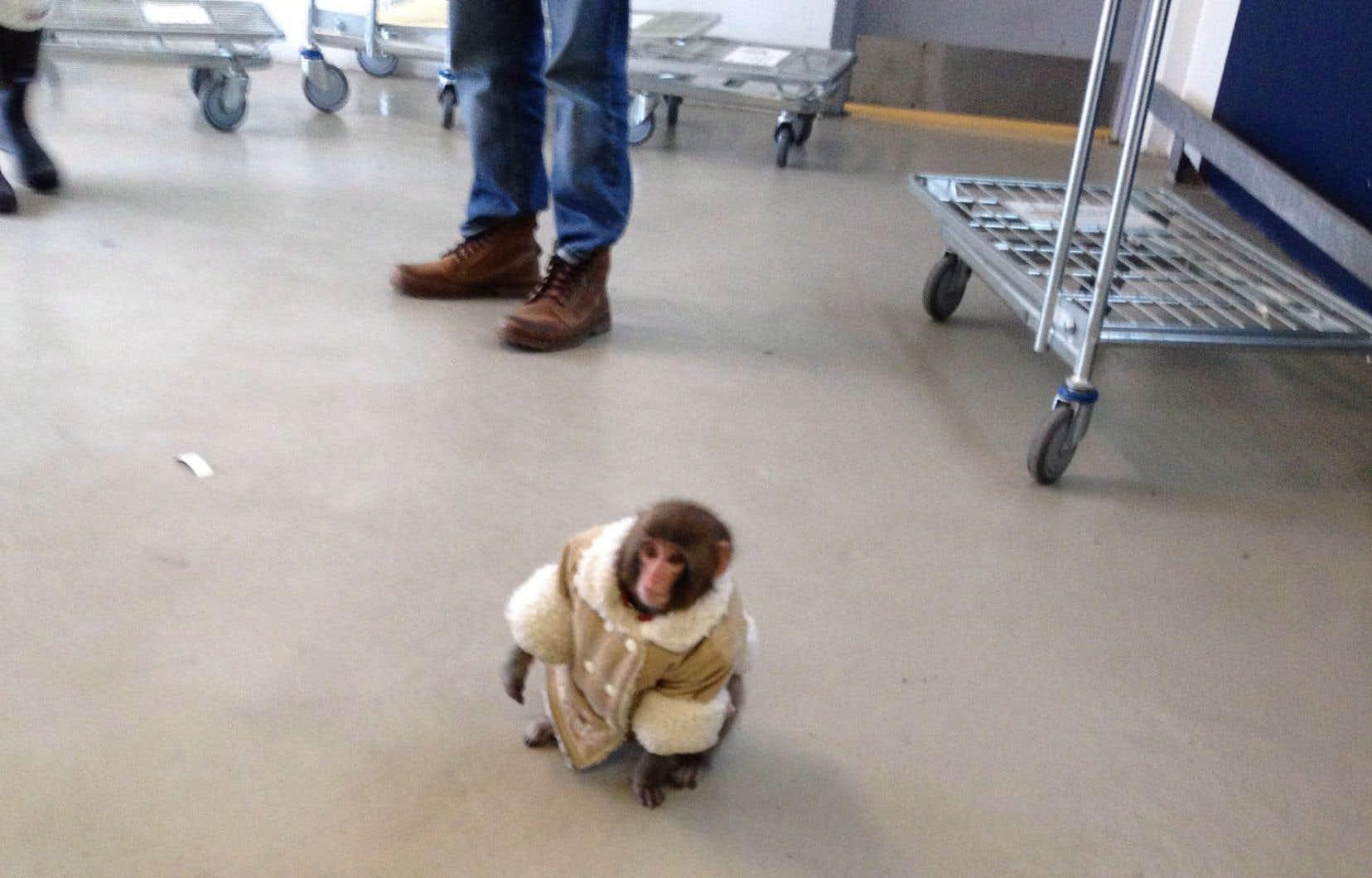 Darwin, connu comme le «singe Ikea», dans un stationnement de magasin torontois