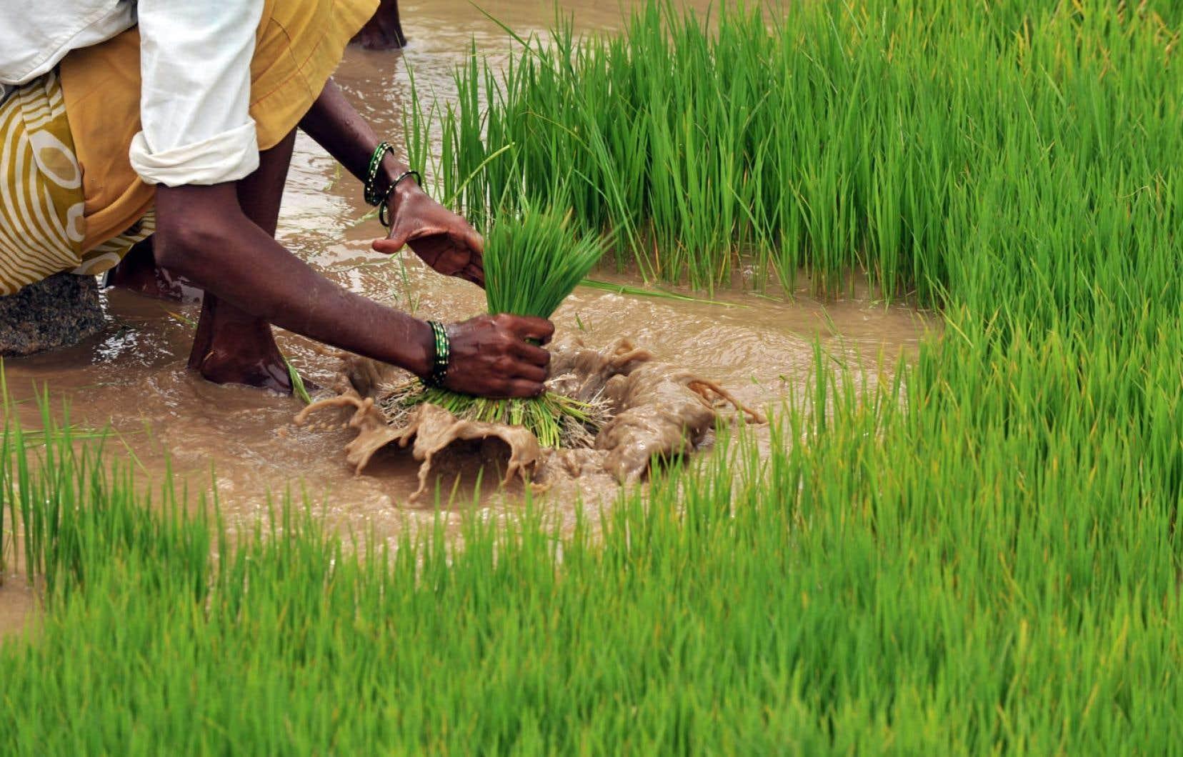 Environ 70 % de la production mondiale de riz est faite par des paysans qui cultivent moins d'un hectare par année.