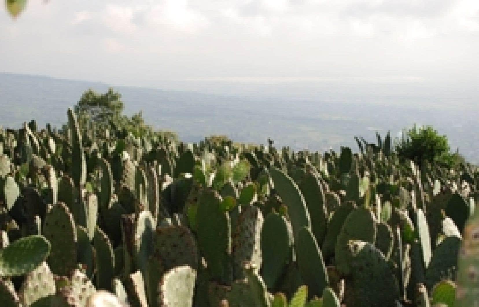 Le nopal, ce cactus aux multiples propriétés, pousse dans la région bordée de volcans de Milpa Alta, dans des champs avoisinant les 3000 mètres d'altitude.