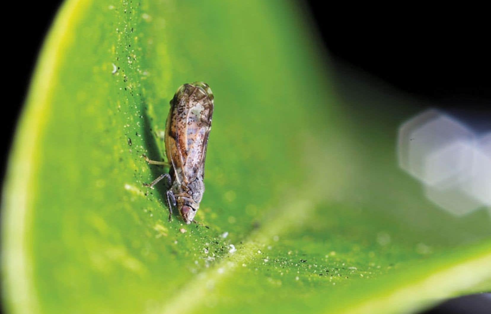 Le psylle asiatique des agrumes, petit insecte ailé, raffole de la sève présente dans le feuillage des citrus, ici une jeune feuille de citronnier.