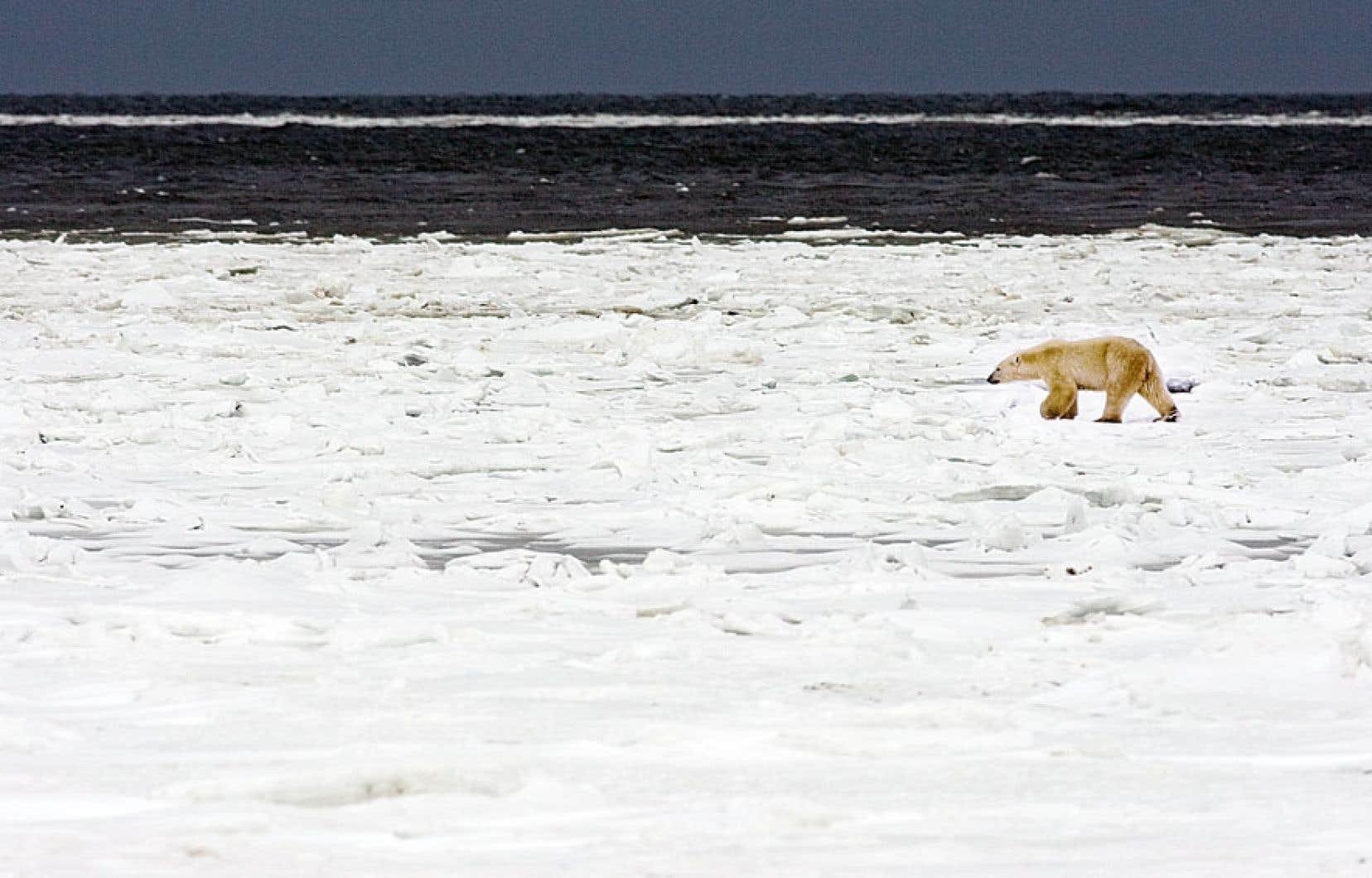 On retrouverait entre 20 000 et 28 000 ours polaires à travers le monde, dont les deux tiers en sol canadien.