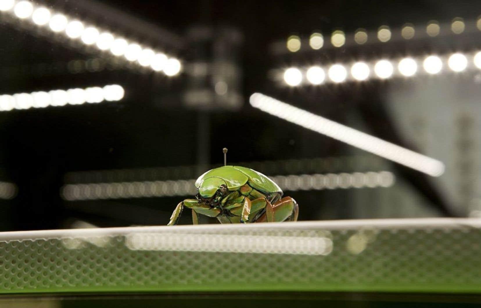 En moyenne, les insectes peuvent transformer deux kilos de fourrage en un kilo de masse. En comparaison, le bétail a besoin de huit kilos de fourrage pour produire un kilo de viande. (photo prise à l'Insectarium de Montréal)<br />