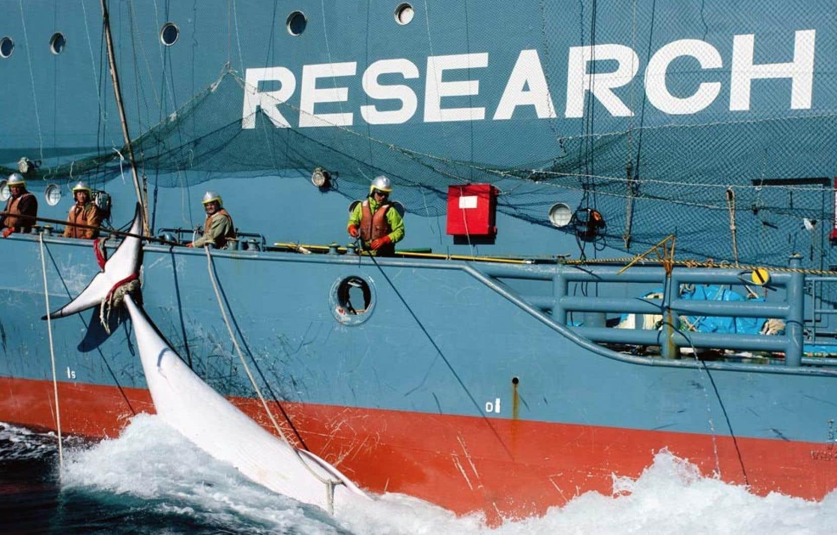 Les gâteries destinées aux chiens sont faites à base de chair de rorqual commun d'Atlantique Nord. Cette viande provient d'animaux mis à mort par les baleiniers islandais. L'Islande est en effet, avec la Norvège, le seul pays à pratiquer ouvertement une chasse «commerciale» à la baleine.