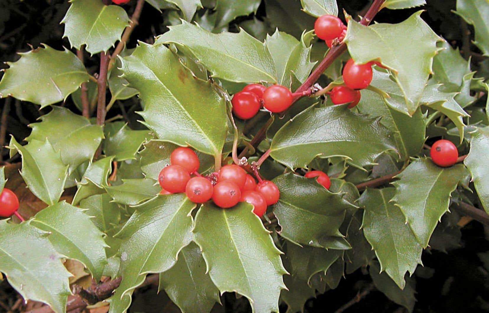 Le feuillage vert foncé et luisant d'Ilex X meservæ est remarquable et ses fruits rouges brillants attirent les oiseaux.
