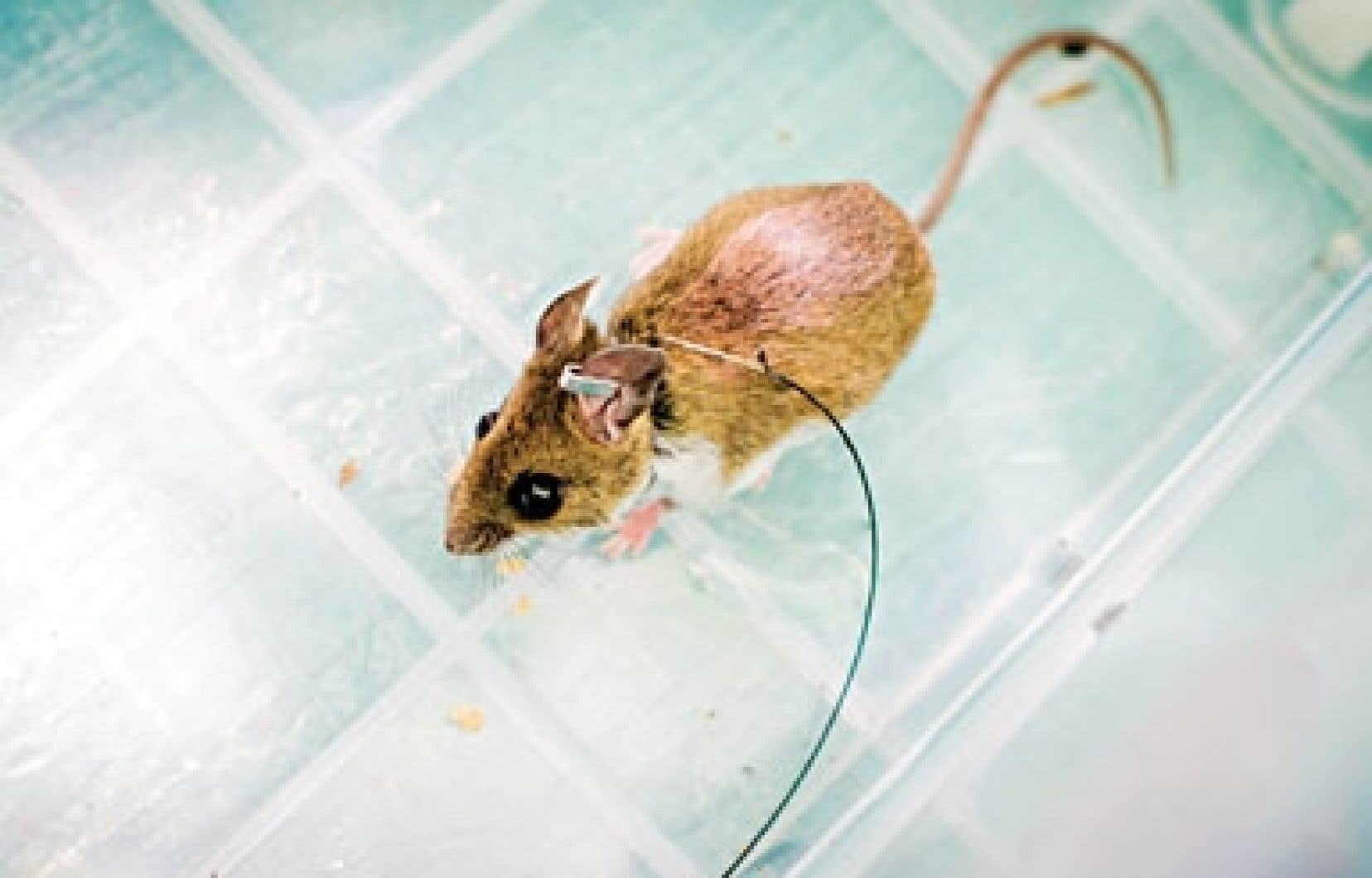 Des souris infectées par la bactérie causant la maladie de Lyme ont été trouvées dans le parc du Mont-Saint-Bruno.