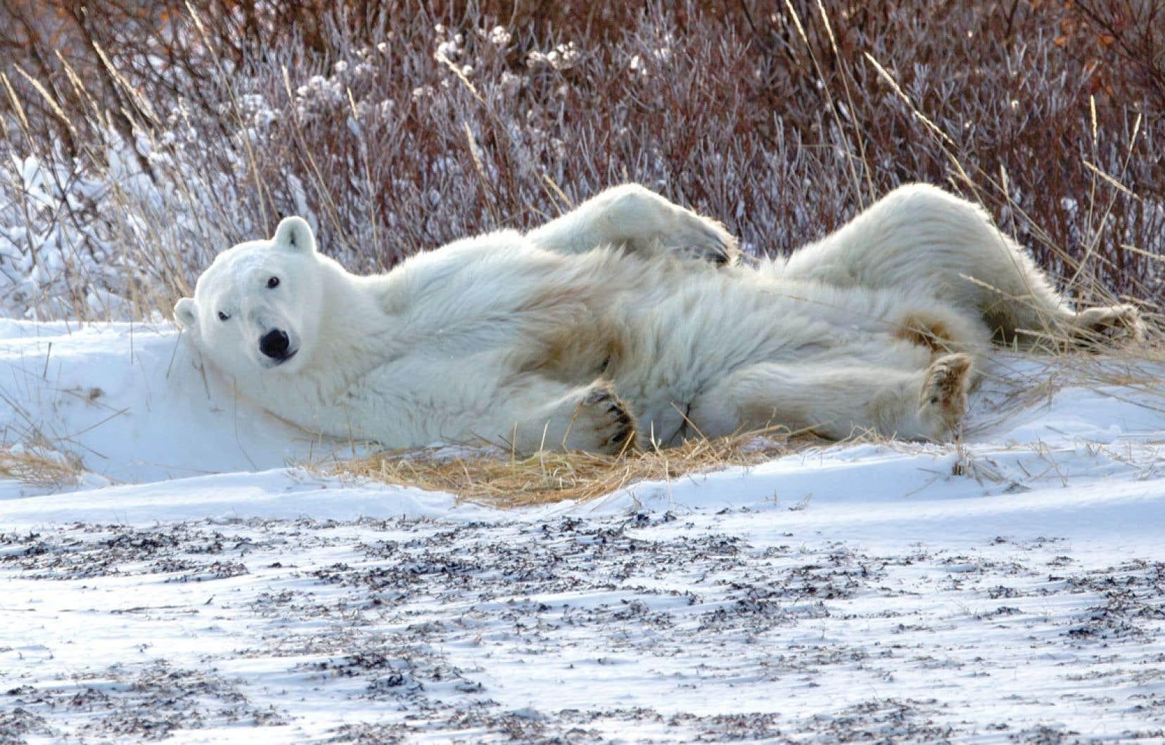 Churchill est visitée à l'automne par un millier d'ours polaires qui y attendent le gel des glaces.
