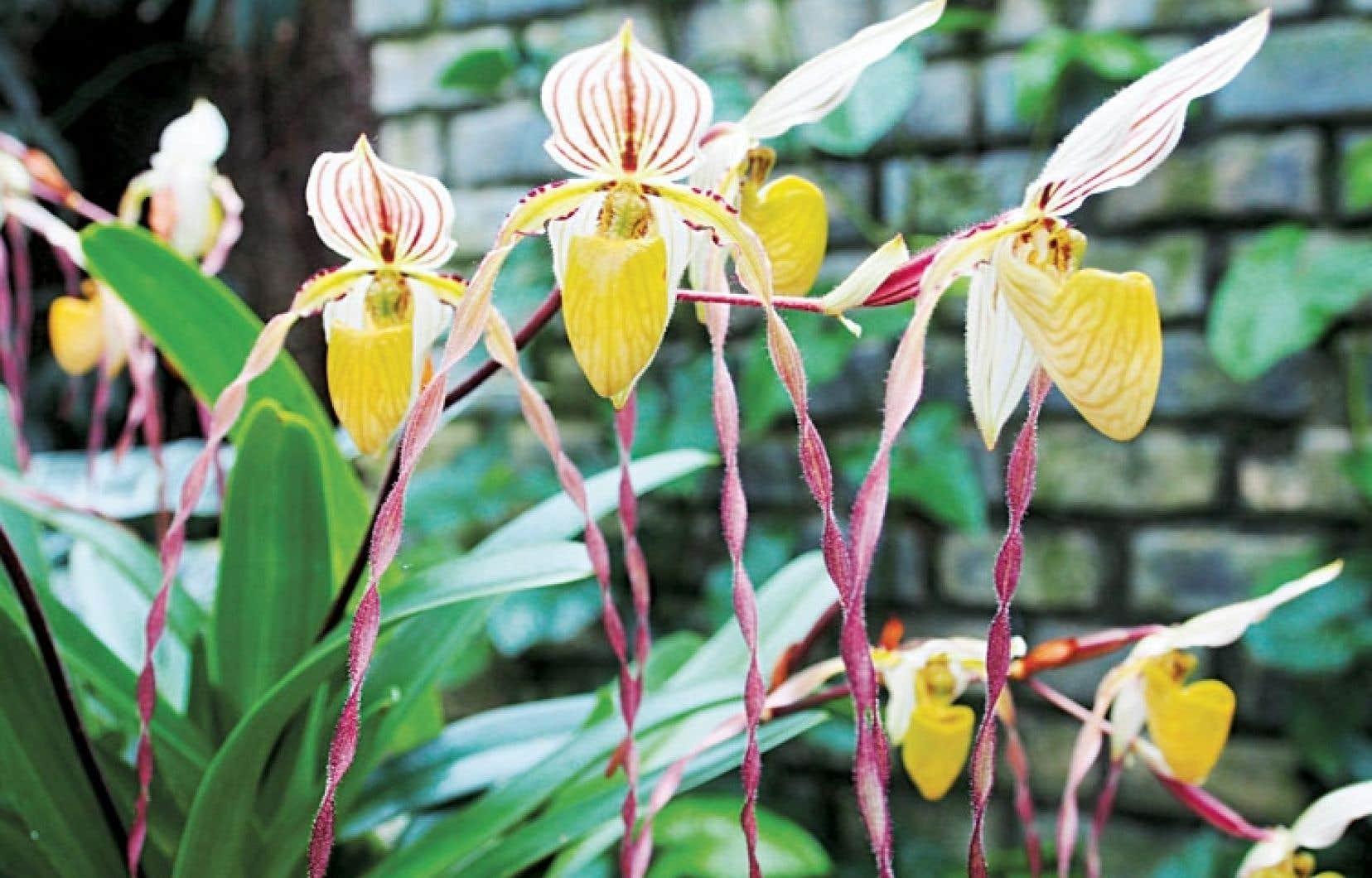 Une orchidée comme la Paphiopedilum philipinnense var philipinnense peut être un beau cadeau à offrir.