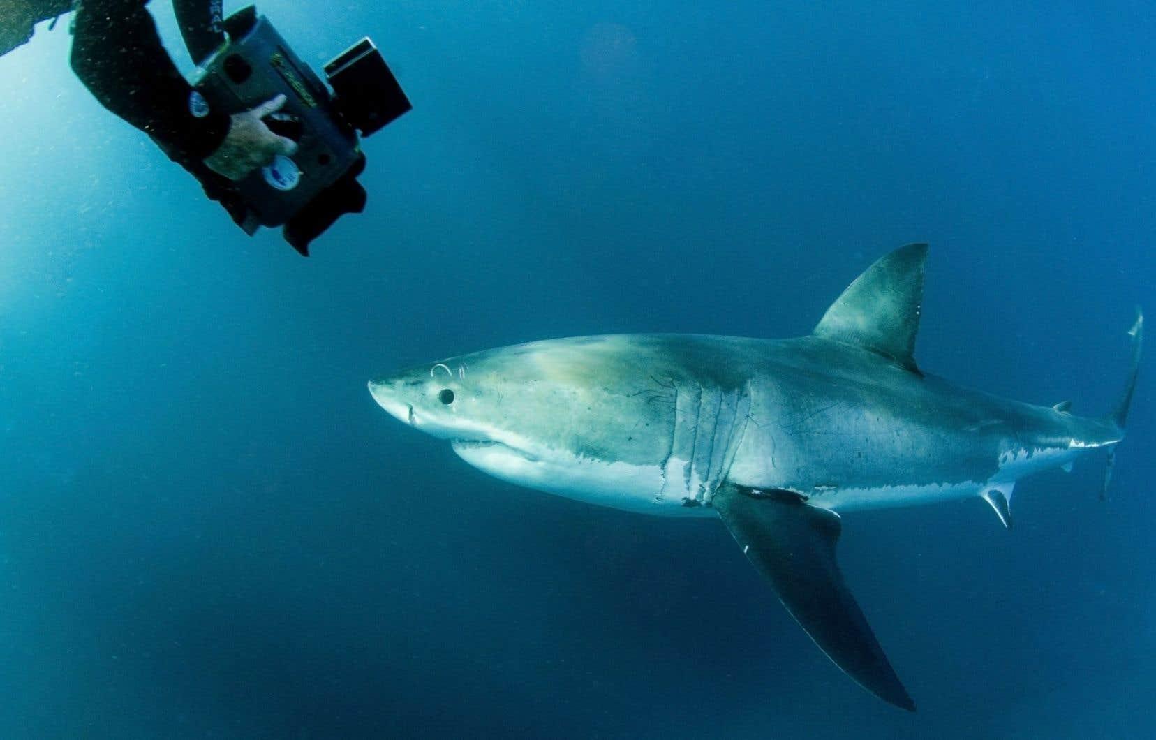 Les requins sont utilisés par l'humain dans l'alimentation, la maroquinerie, le tourisme, les cosmétiques et sont parfois maintenus en captivité. Pourtant, les requins sont considérés comme indispensables à leur écosystème.