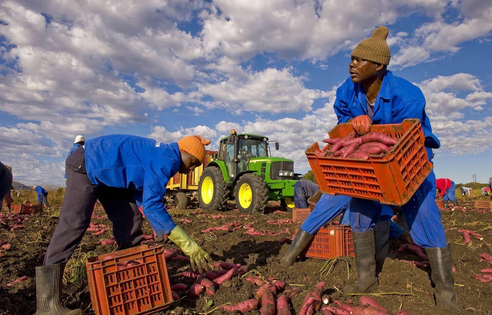 En Afrique du Sud, des agriculteurs récoltents des patates douces.