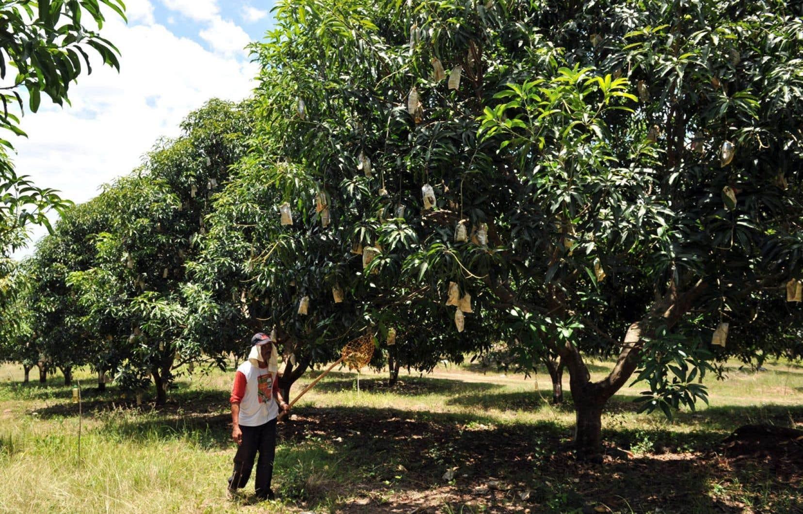 Plusieurs fruits, comme les mangues, sont allergènes, peut-être en raison des pesticides avec lesquels ils sont traités dès la floraison.