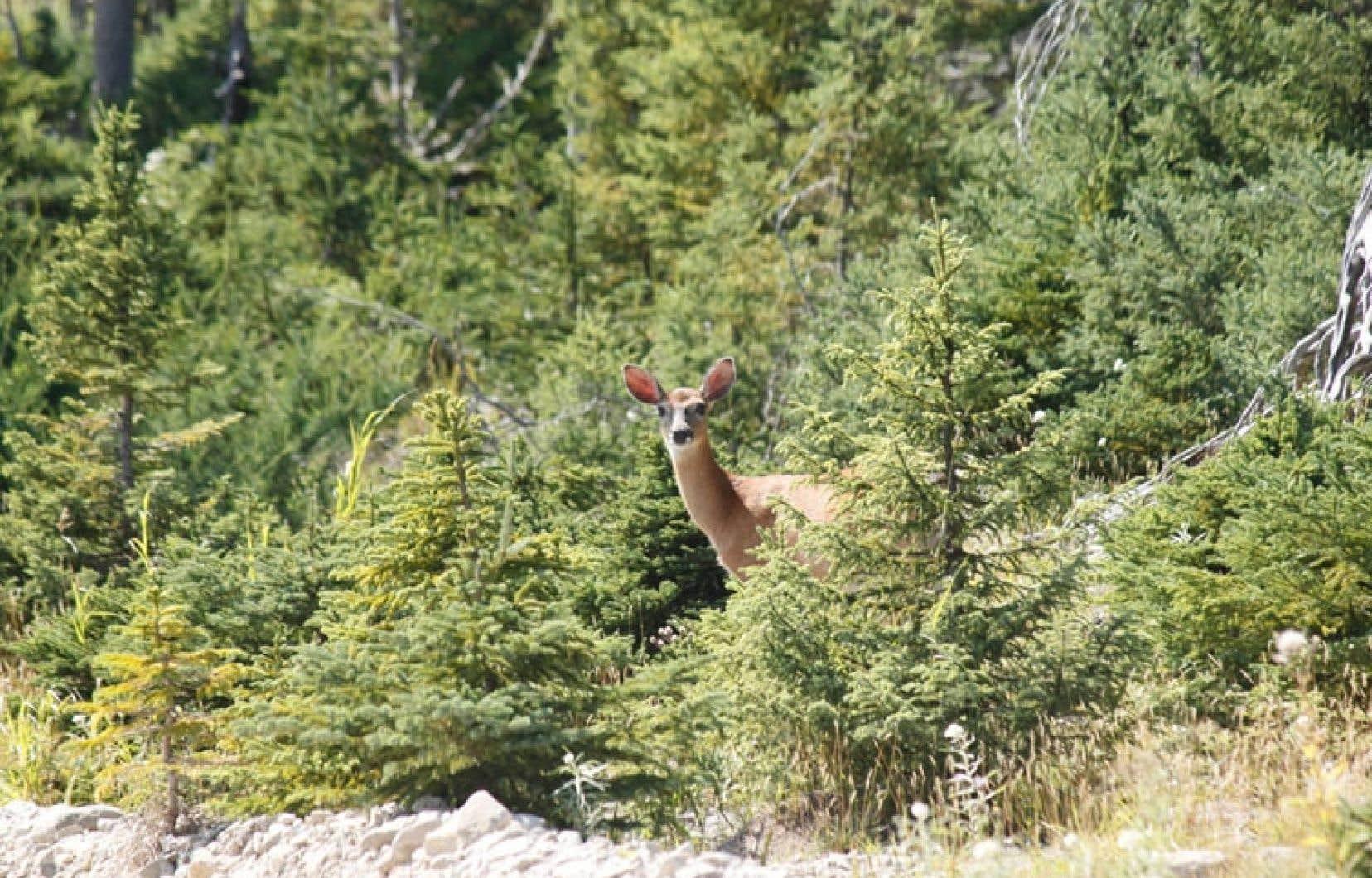 Le cerf de Virginie est un gibier populaire pendant la saison de la chasse.
