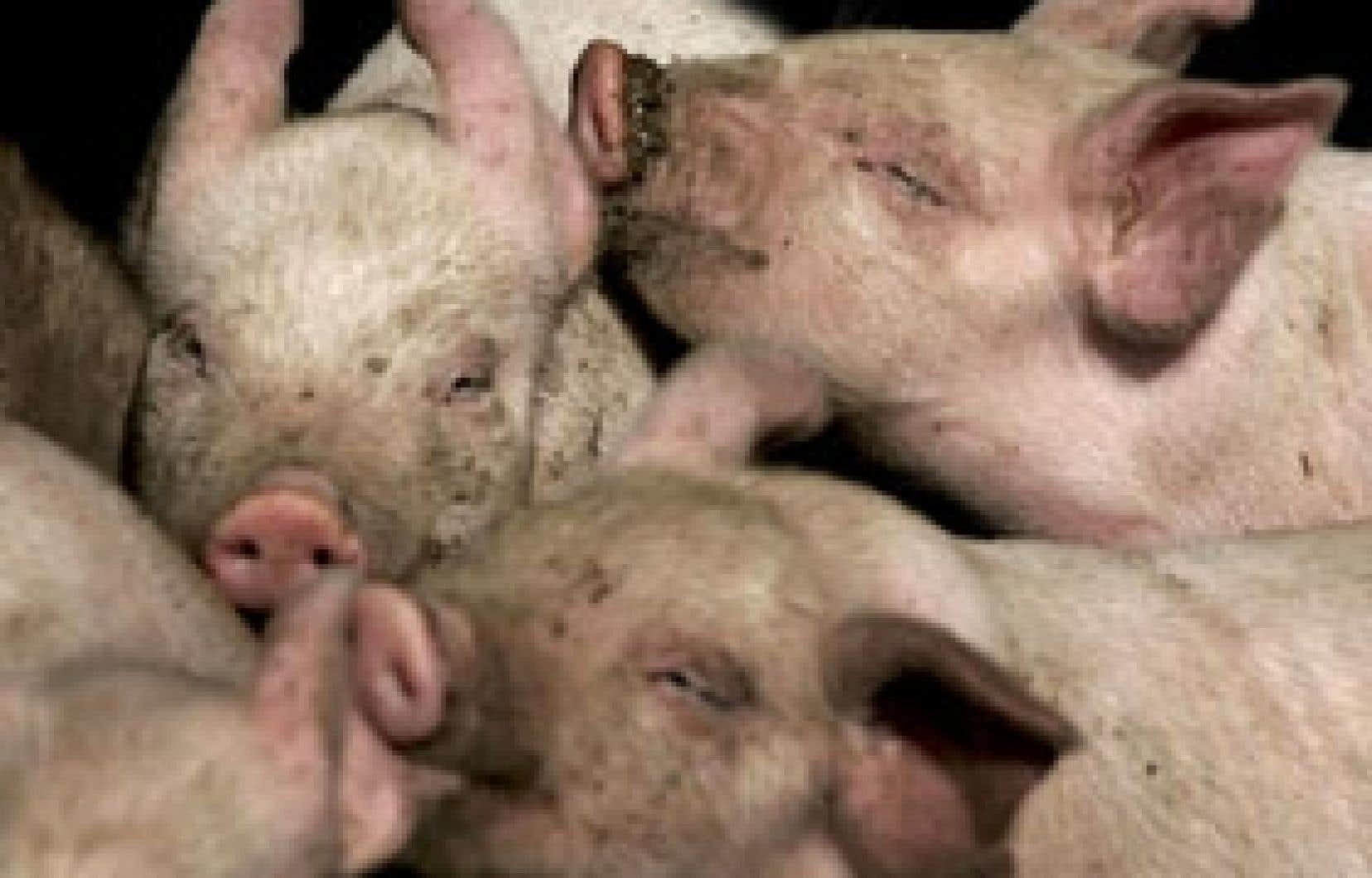 Les producteurs de porcs ont dû, au cours de la dernière année, encaisser des baisses de prix que leur ont imposées les abattoirs, lesquels cherchaient à gagner du temps.