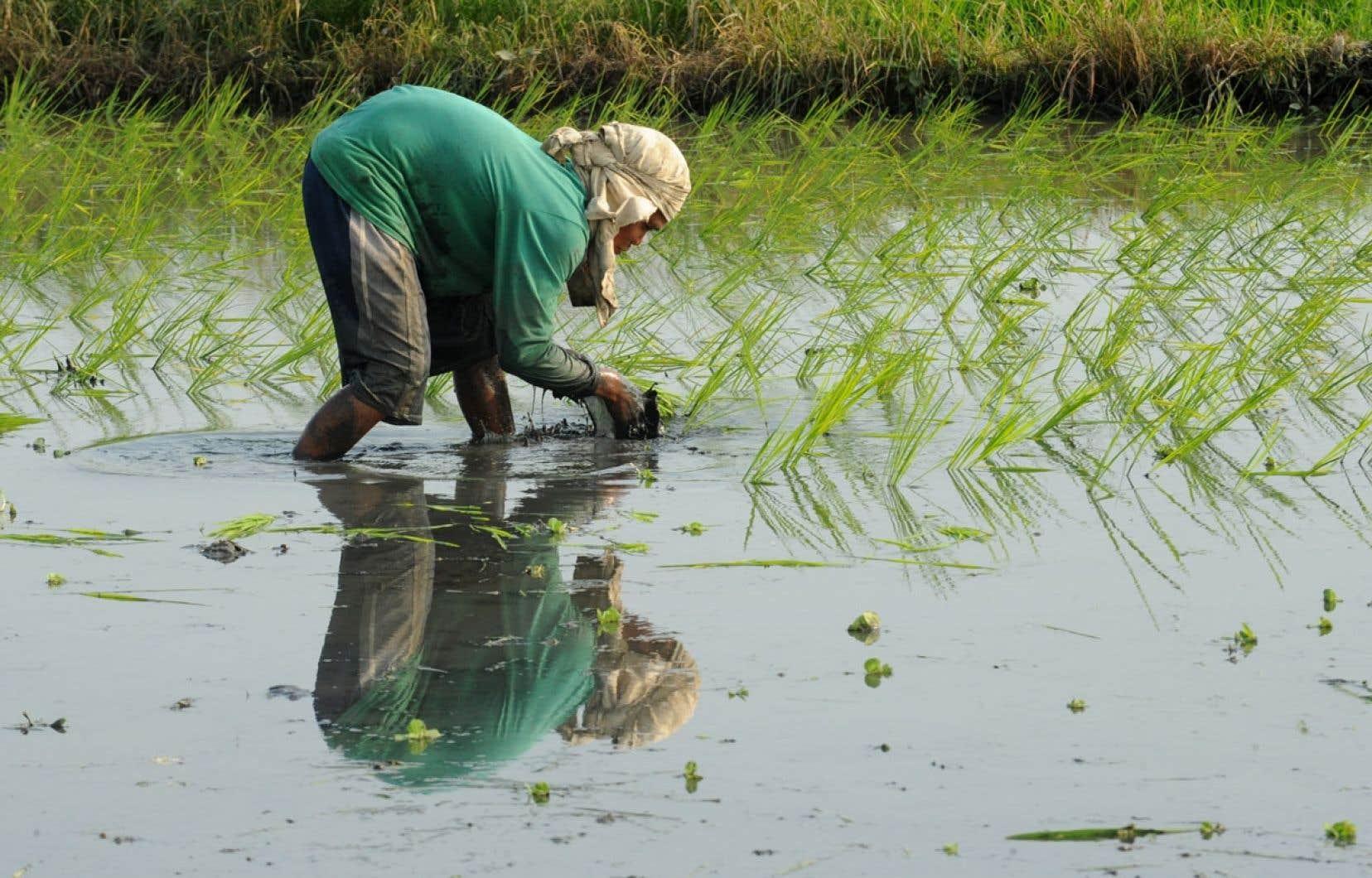 Un agriculteur plante du riz dans un champ de la banlieue de Manille, aux Philippines. Le riz est l'une des cultures essentielles qui seront de plus en plus affectées par les changements climatiques.