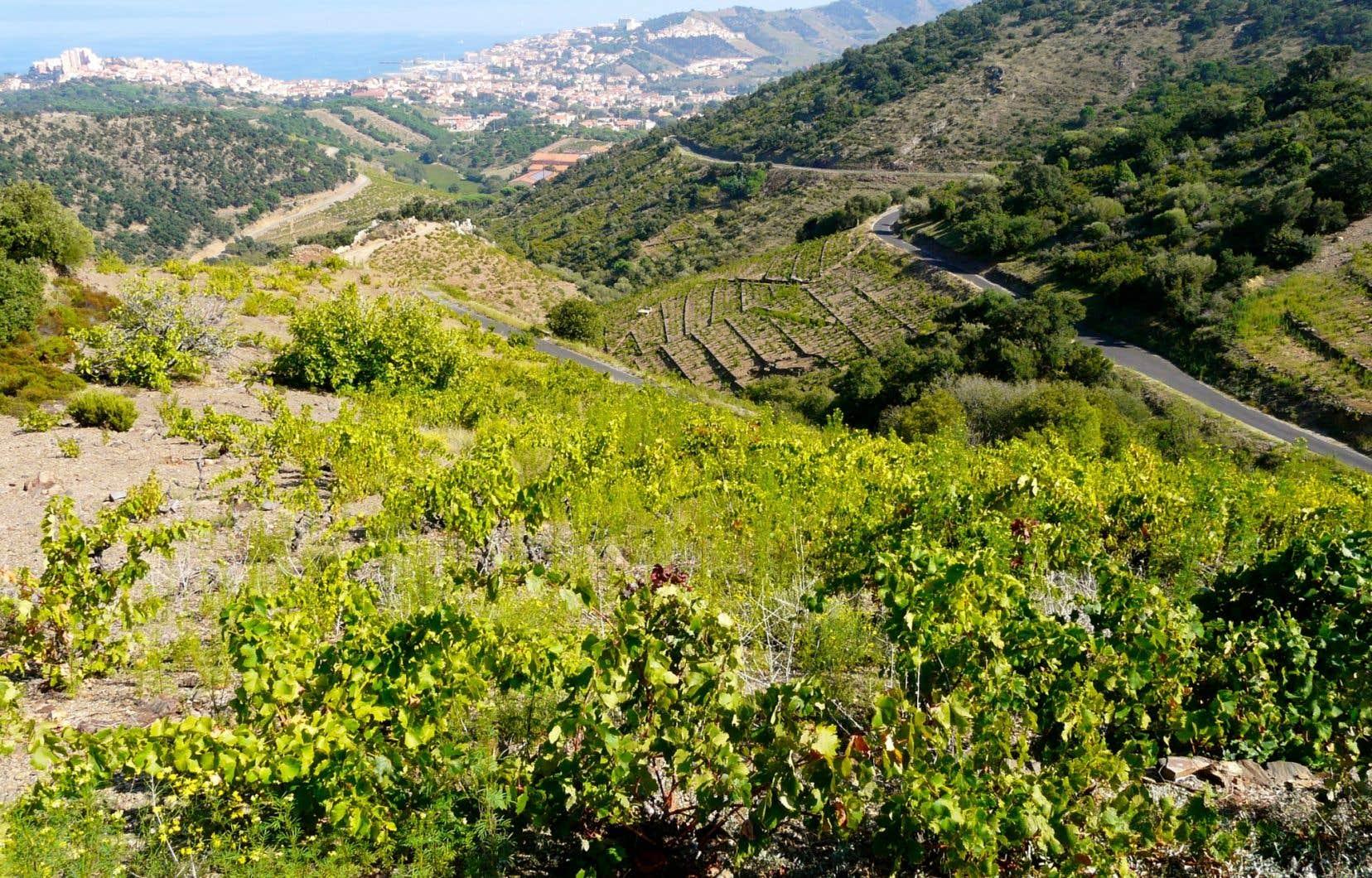 Des vignobles du côté de Collioure, avec la Grande Bleue derrière.