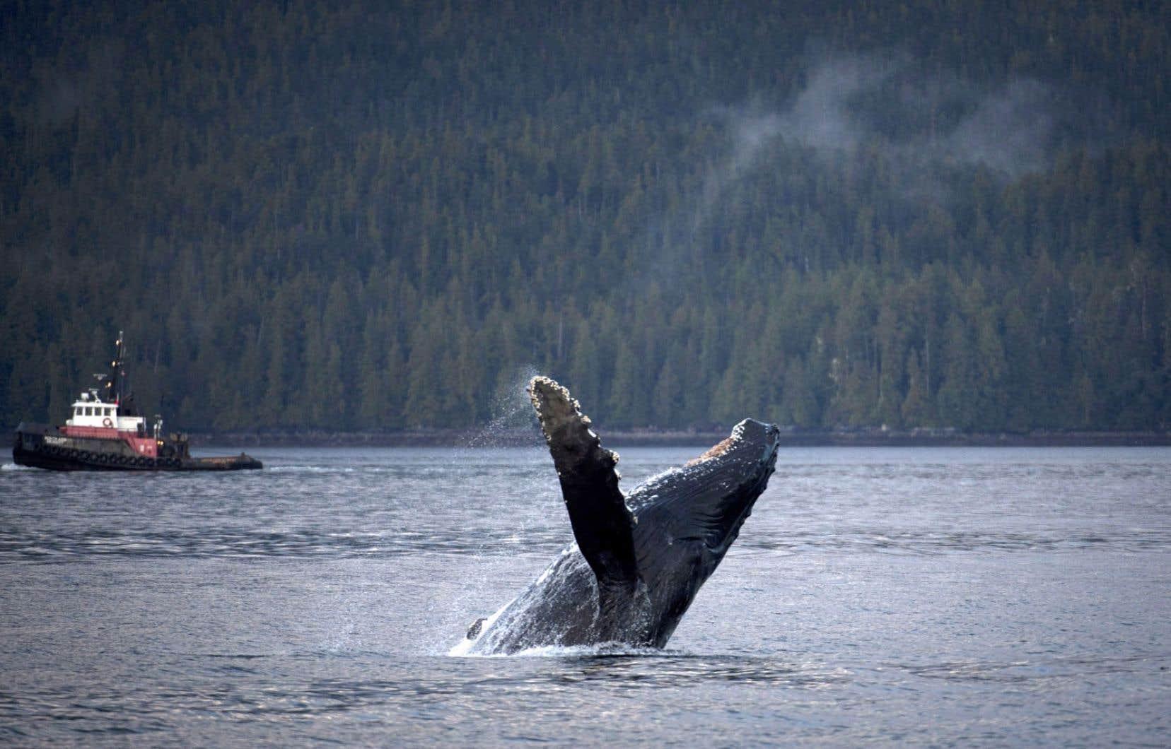 Une baleine à bosse nageant dans les eaux donnant accès à Kitimat, en Colombie-Britannique, où s'amarreront les pétroliers qui transporteront le pétrole albertain.