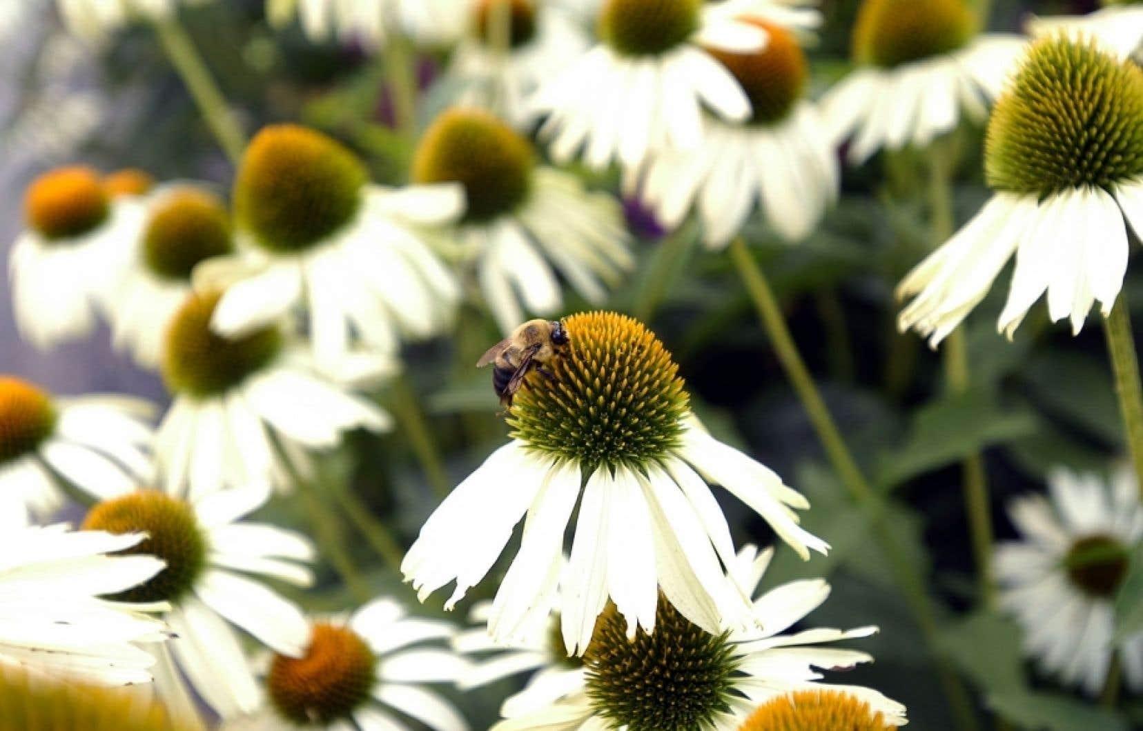 Les abeilles, dont le nombre disparaît dangereusement, sont responsables, par leur pollinisation, de plus d'un tiers de notre alimentation.