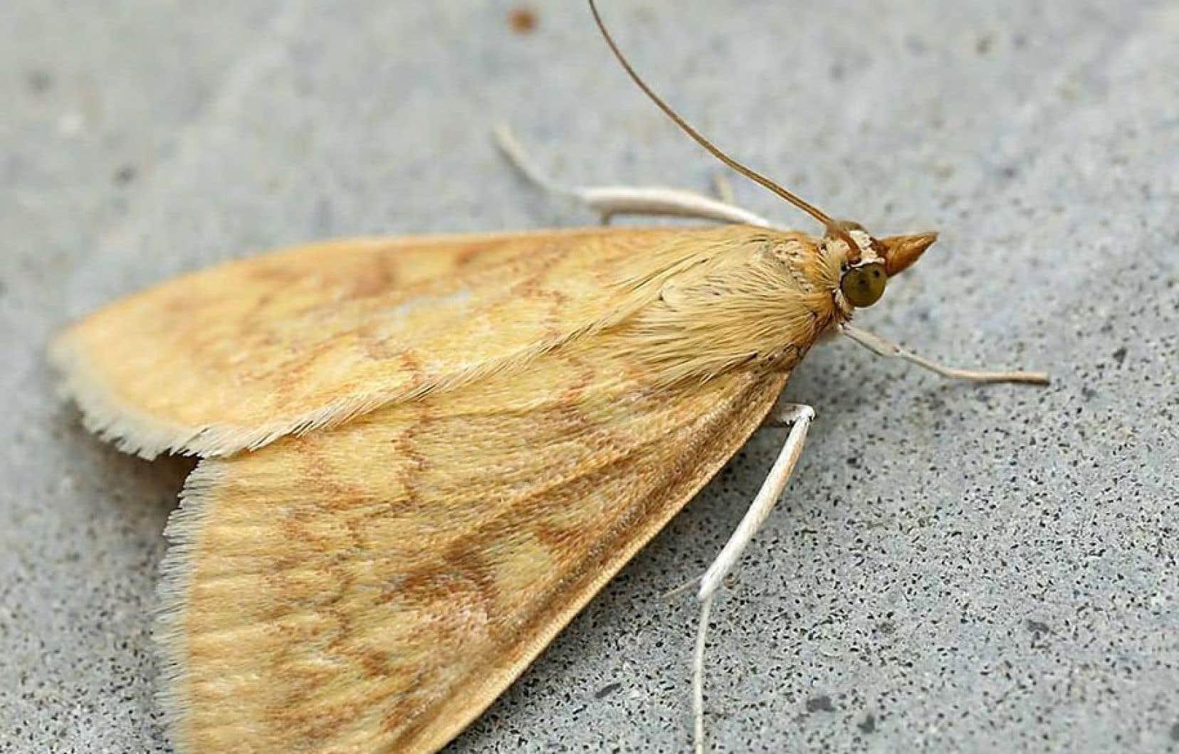 La pyrale est un papillon nocturne qui ravage les champs de maïs.