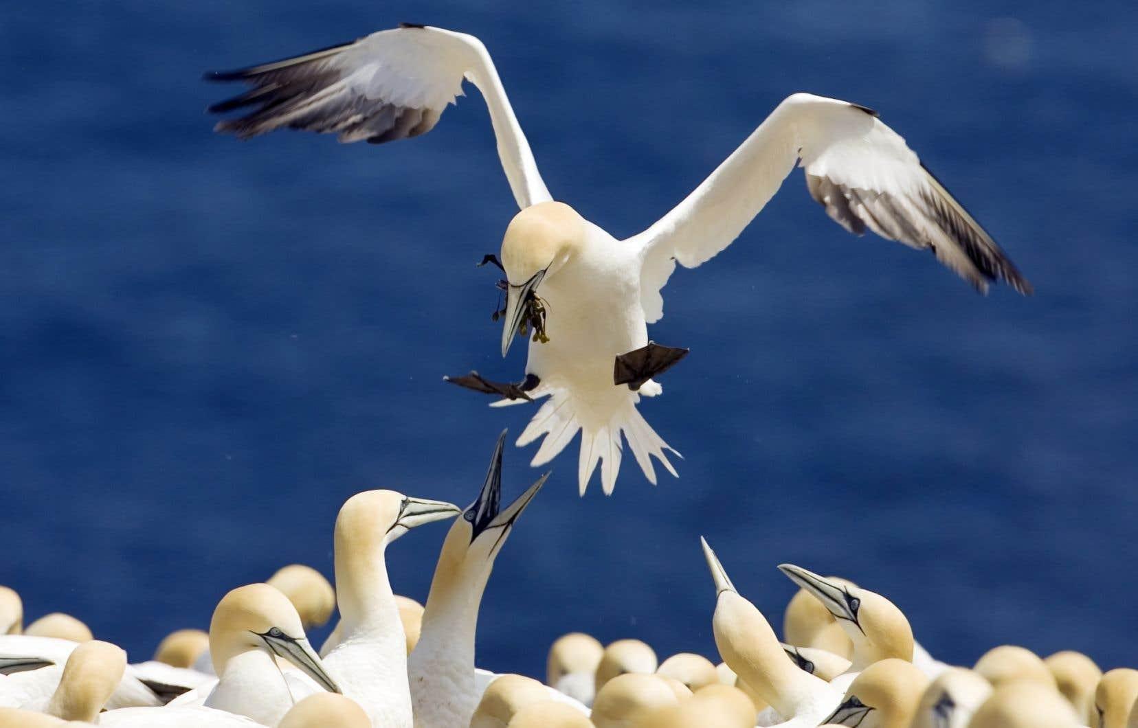 Des facteurs environnementaux sont probablement responsables de la chute des taux de reproduction des fous de Bassan de l'île Bonaventure.