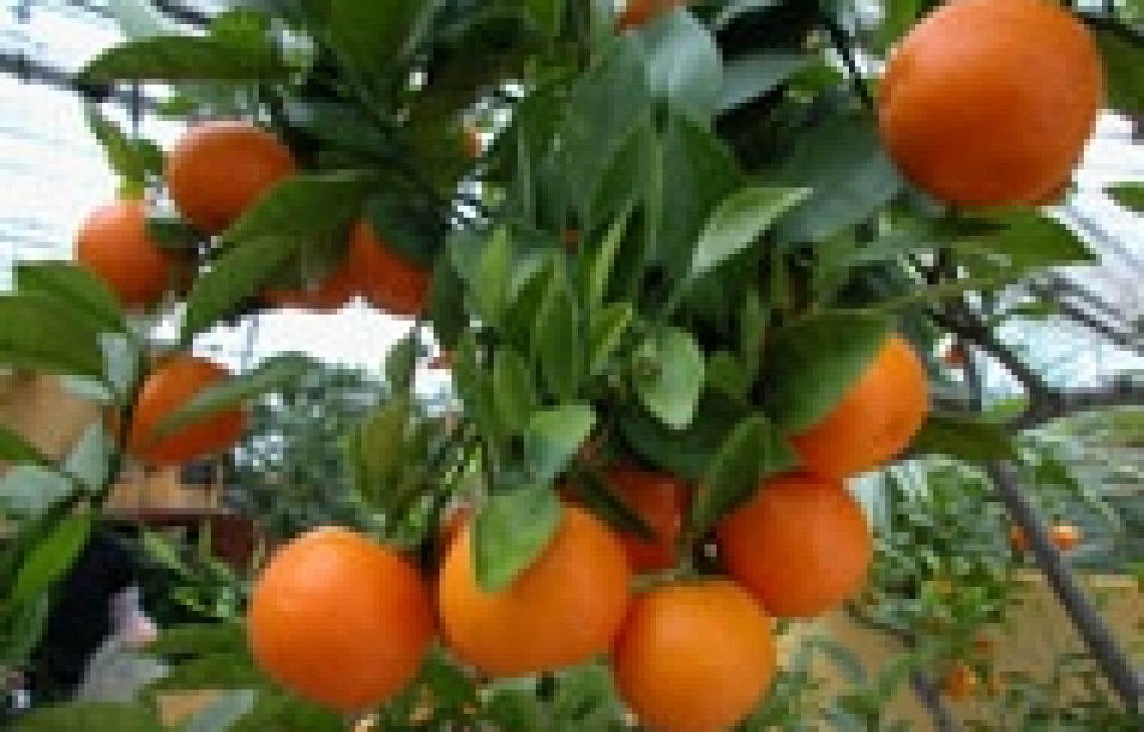 Les agrumes sont souvent utilisés dans la fabrication d'huiles essentielles.