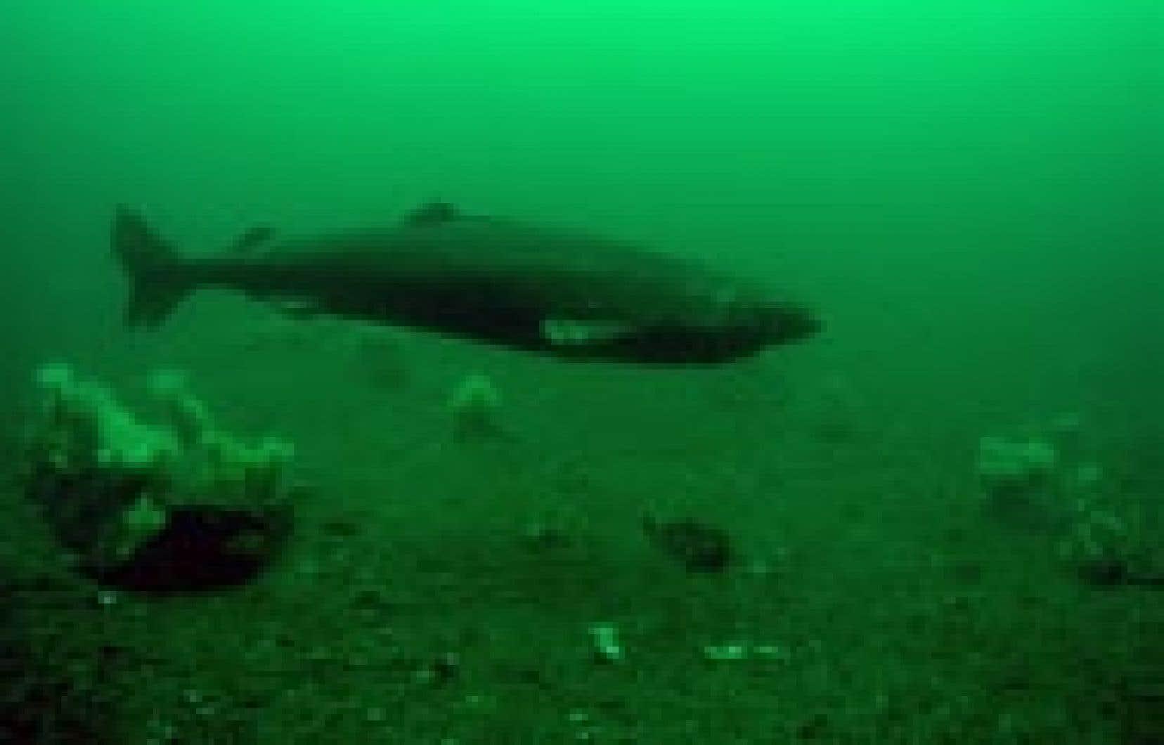 Les requins du Groenland se déplacent très lentement, beaucoup plus lentement que les autres requins, qui peuvent habituellement nager aussi vite qu'un petit bateau, ce qui leur vaut le qualificatif de nonchalant et le nom scientifique de Somniosus m