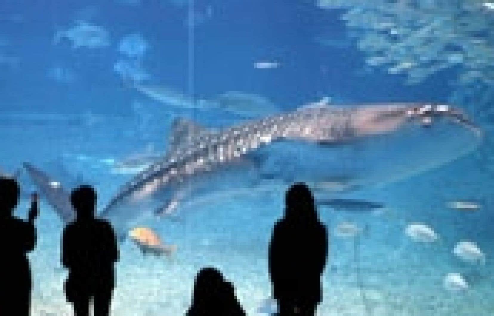 Les visiteurs de l'aquarium d'Okinawa, au Japon, observent un requin-baleine de sept mètres de long. Dans la nature, la survie de ce poisson — le plus gros connu — est plus difficile: en une seule décennie, sa taille moyenne est passée de sept