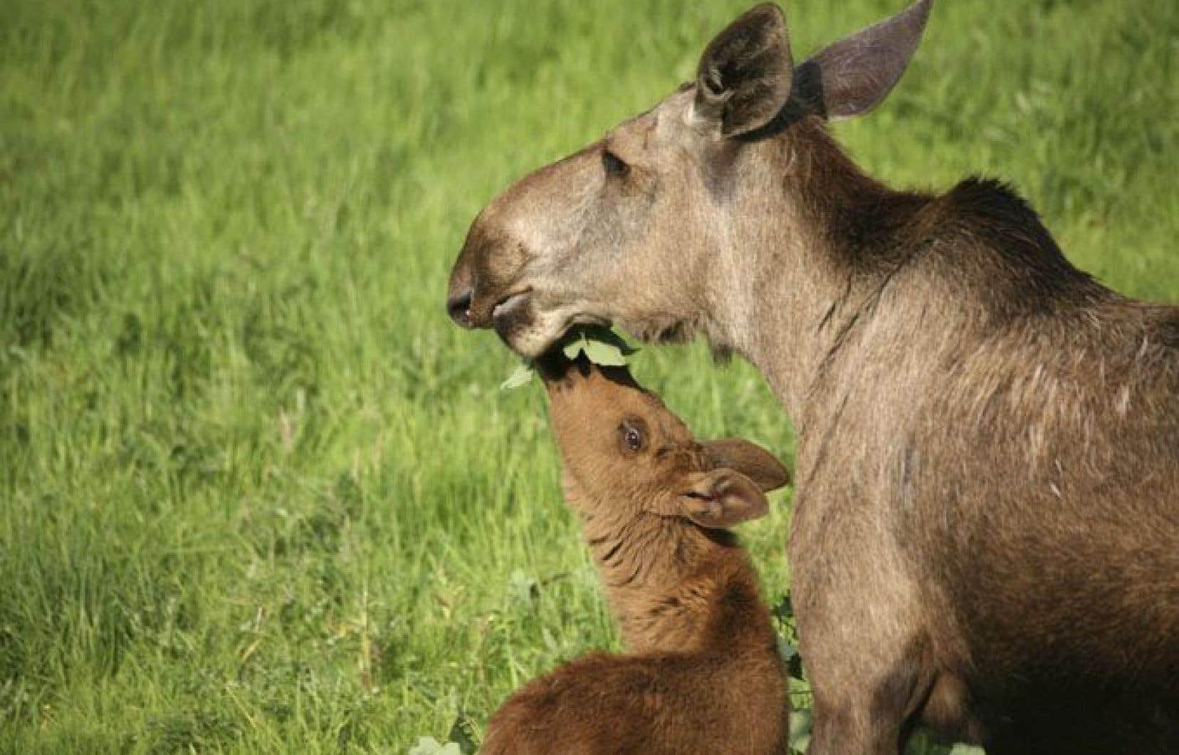 Plusieurs projets de recherche souffriront de la disparition de l'expertise des scientifiques, notamment ceux liés à l'étude du caribou des bois, une espèce menacée de disparition.