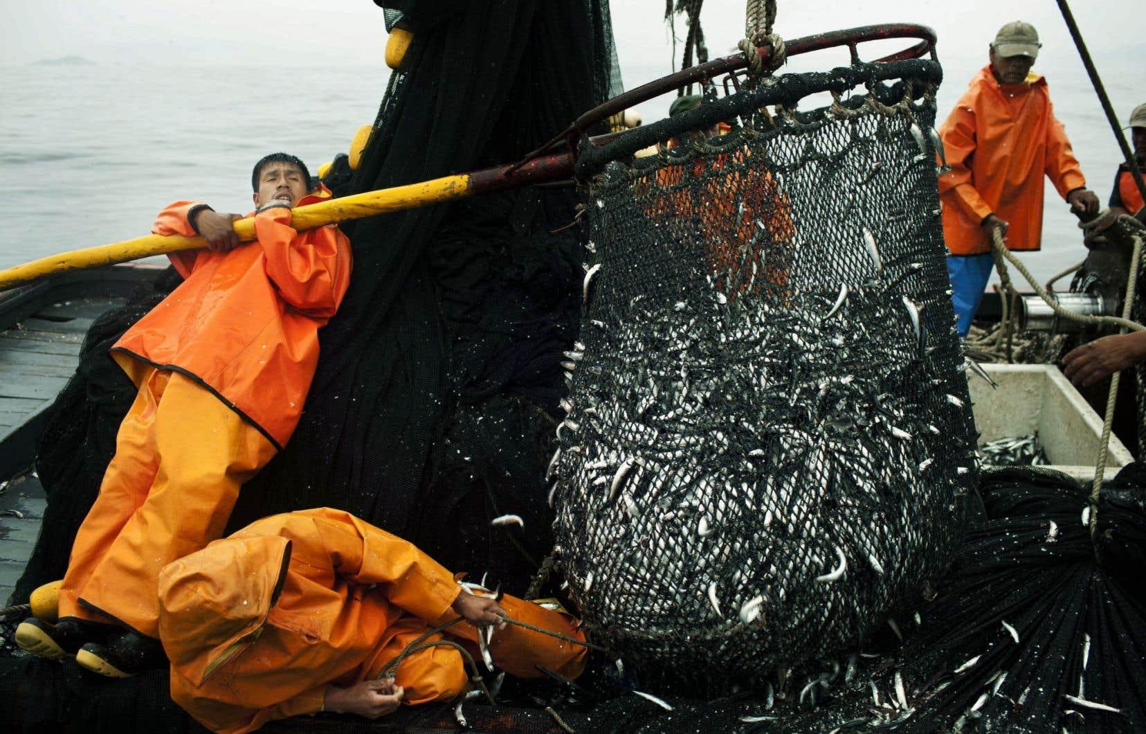 Récolte d'anchois sur un bateau de pêche péruvien lors d'une expédition dans l'océan Pacifique.