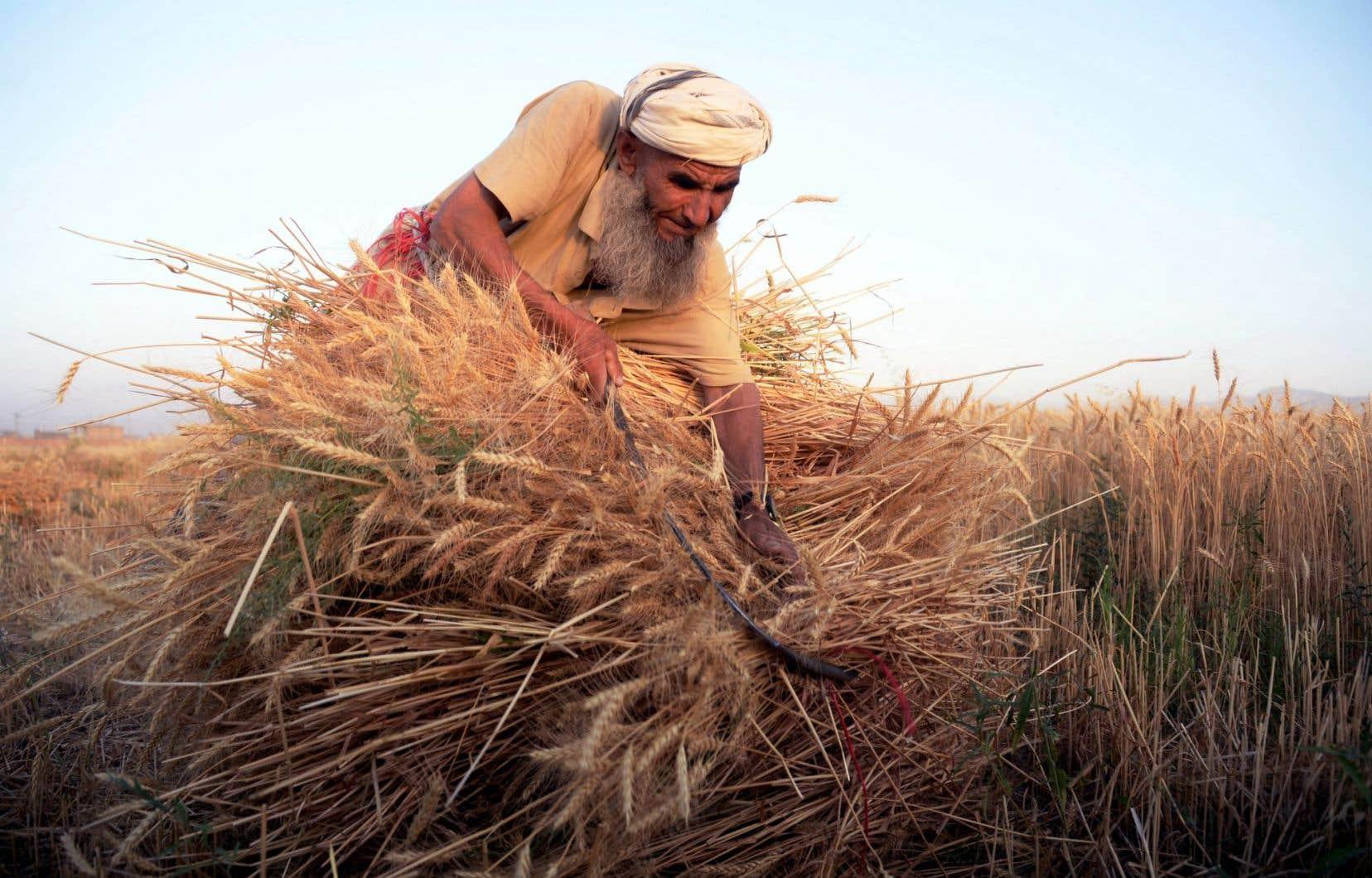 Le réchauffement climatique pourrait réduire la production agricole de moitié par endroits. Ci-dessus, un Afghan fauche le blé à Mazari Sharif.