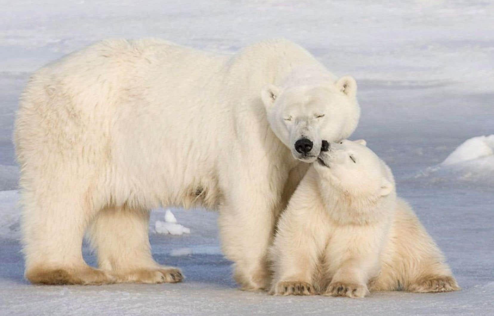 L'ours polaire figure parmi les victimes probables des effets des bouleversements du climat dans l'Arctique.