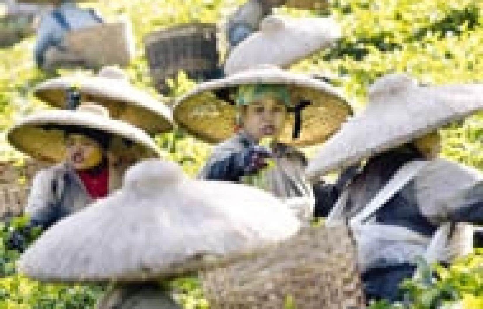 Des cueilleuses de thé en Indonésie. Tous les pays en développement sont loin de partager les mêmes intérêts. mais sur la question agricole, ils sont tous d'accord pour réclamer abolition des subventions aux exportations et des barrières commer