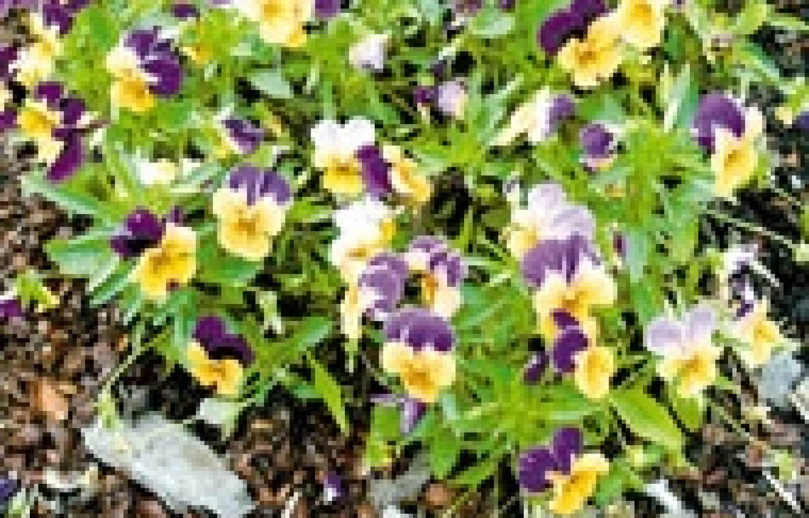 Viola cornuta «Sorbet Orange Duet»