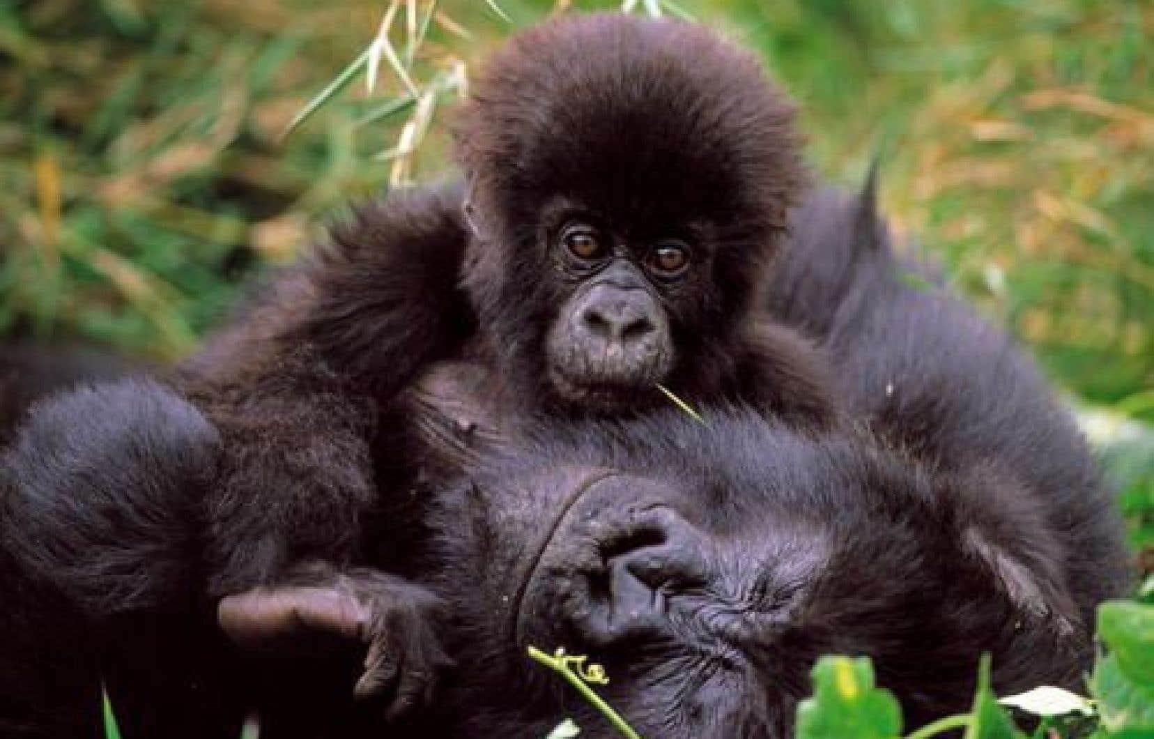 Créé en 1925, le parc des Virunga abrite plusieurs espèces animales menacées, parmi lesquelles le gorille des montagnes, son emblème.