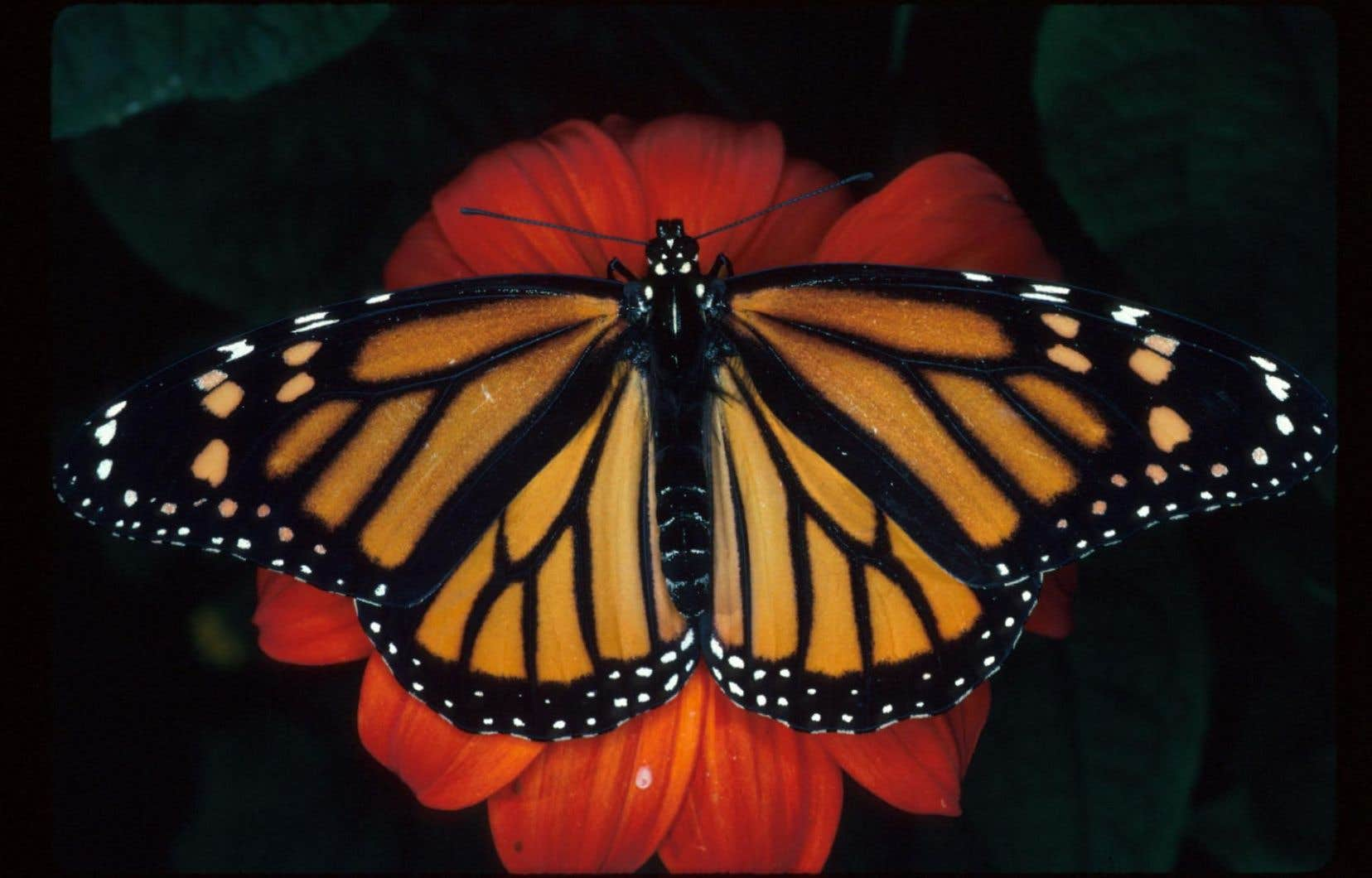 Les monarques des États-Unis et du Canada franchissent chaque année les 5740 kilomètres qui les séparent de la réserve forestière.