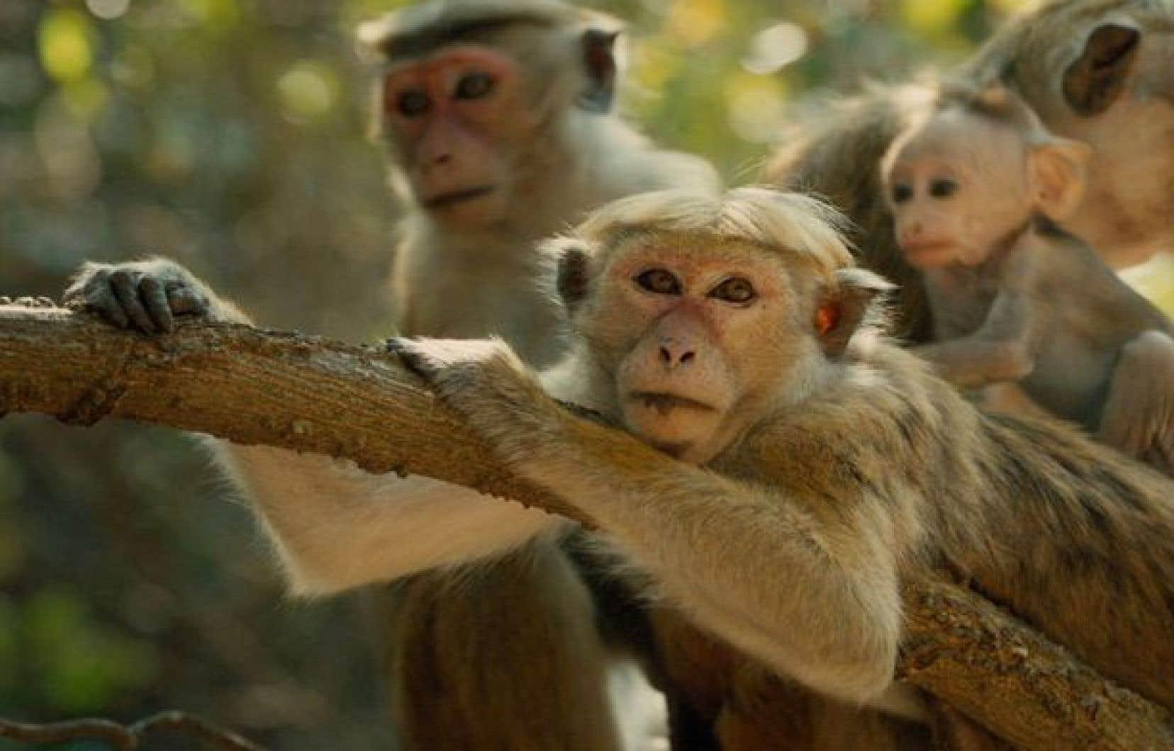 Au fond de la jungle du Sri Lanka, des singes ayant élu domicile au milieu des ruines d'un temple sacré reproduisent à la perfection les inégalités qui perdurent dans le monde capitaliste.